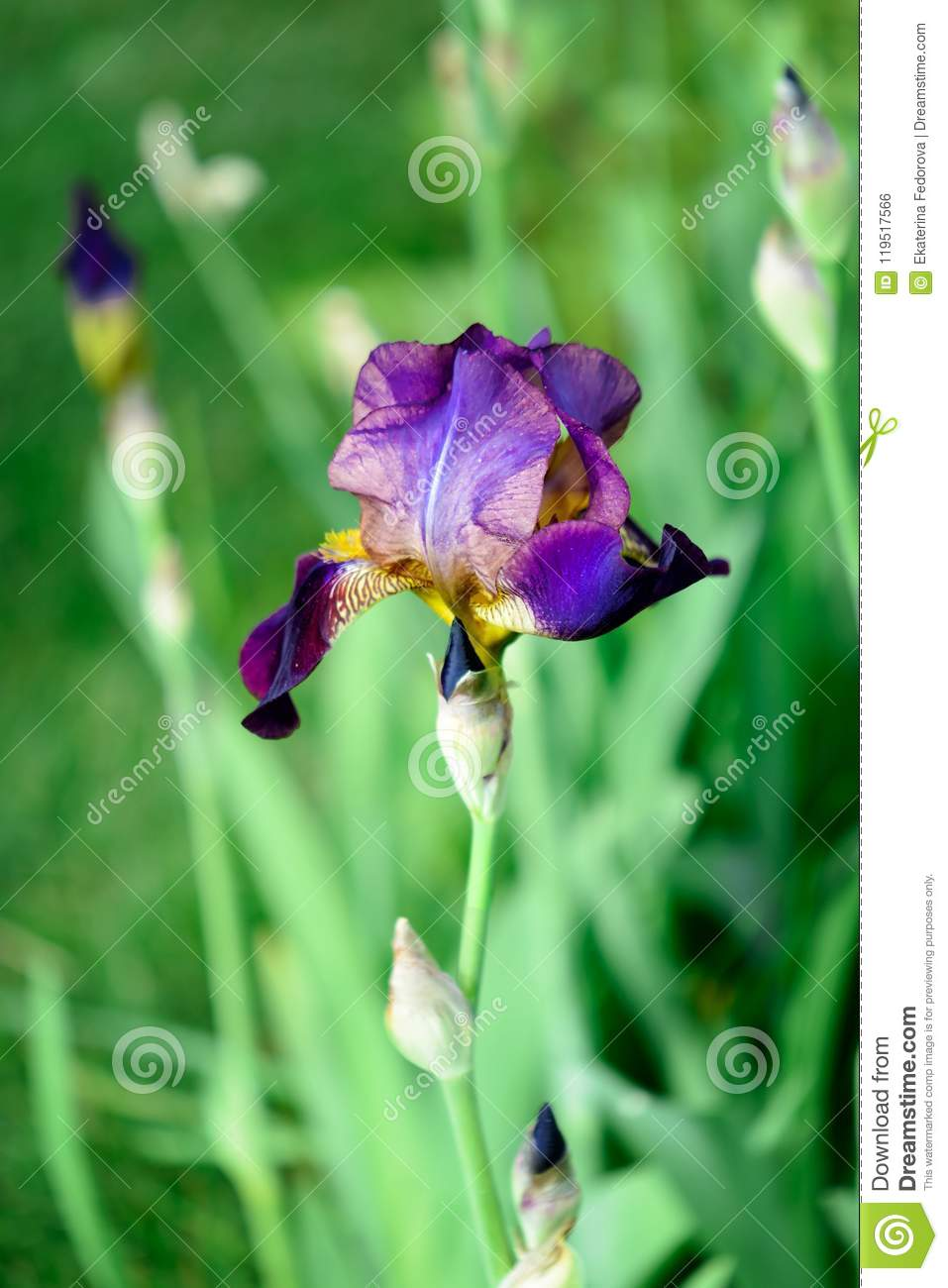 Macro Photo Of A Dark Iris A Beautiful Summer Flower Background In