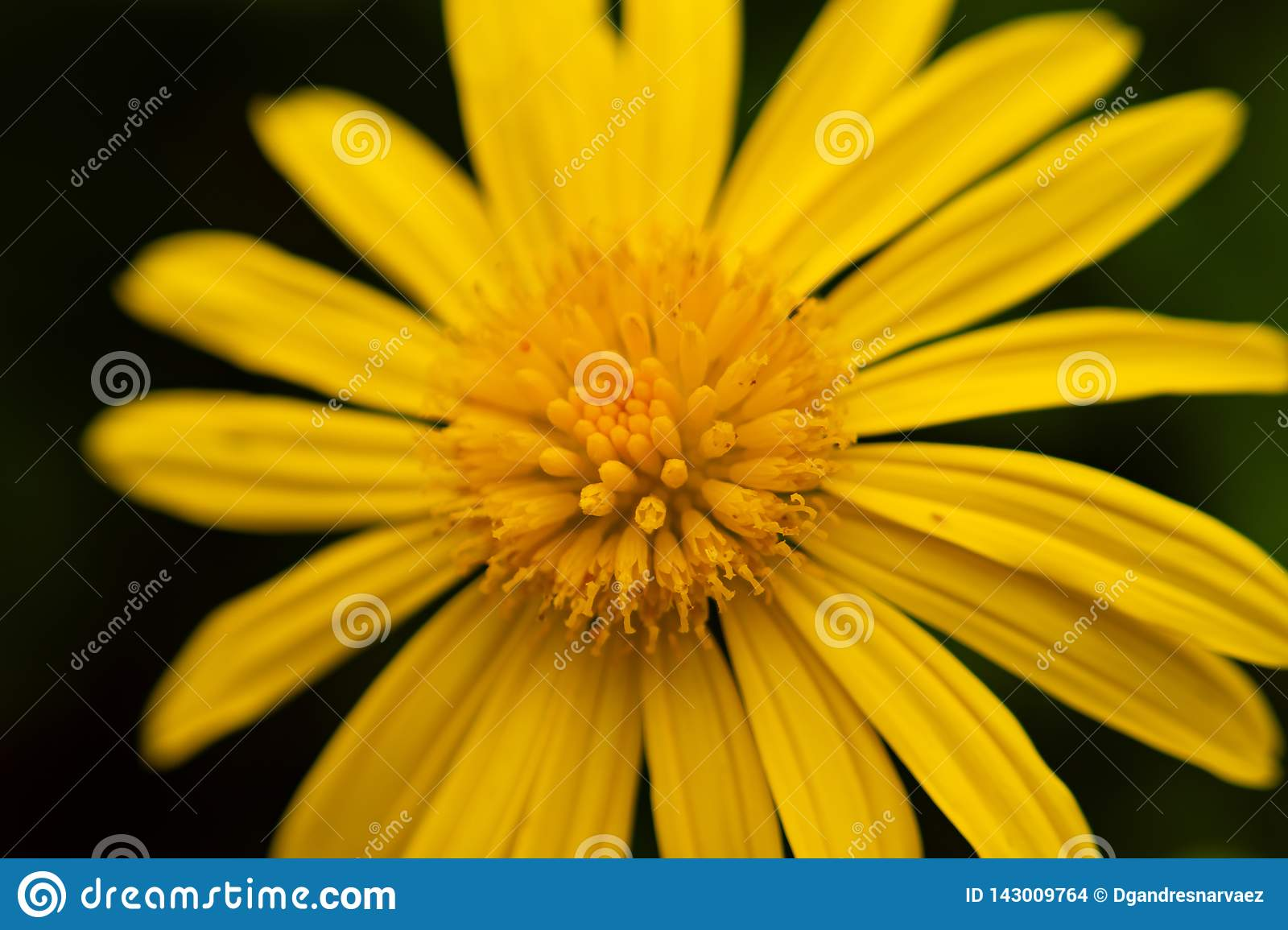 Macro photo de tournesol jaune