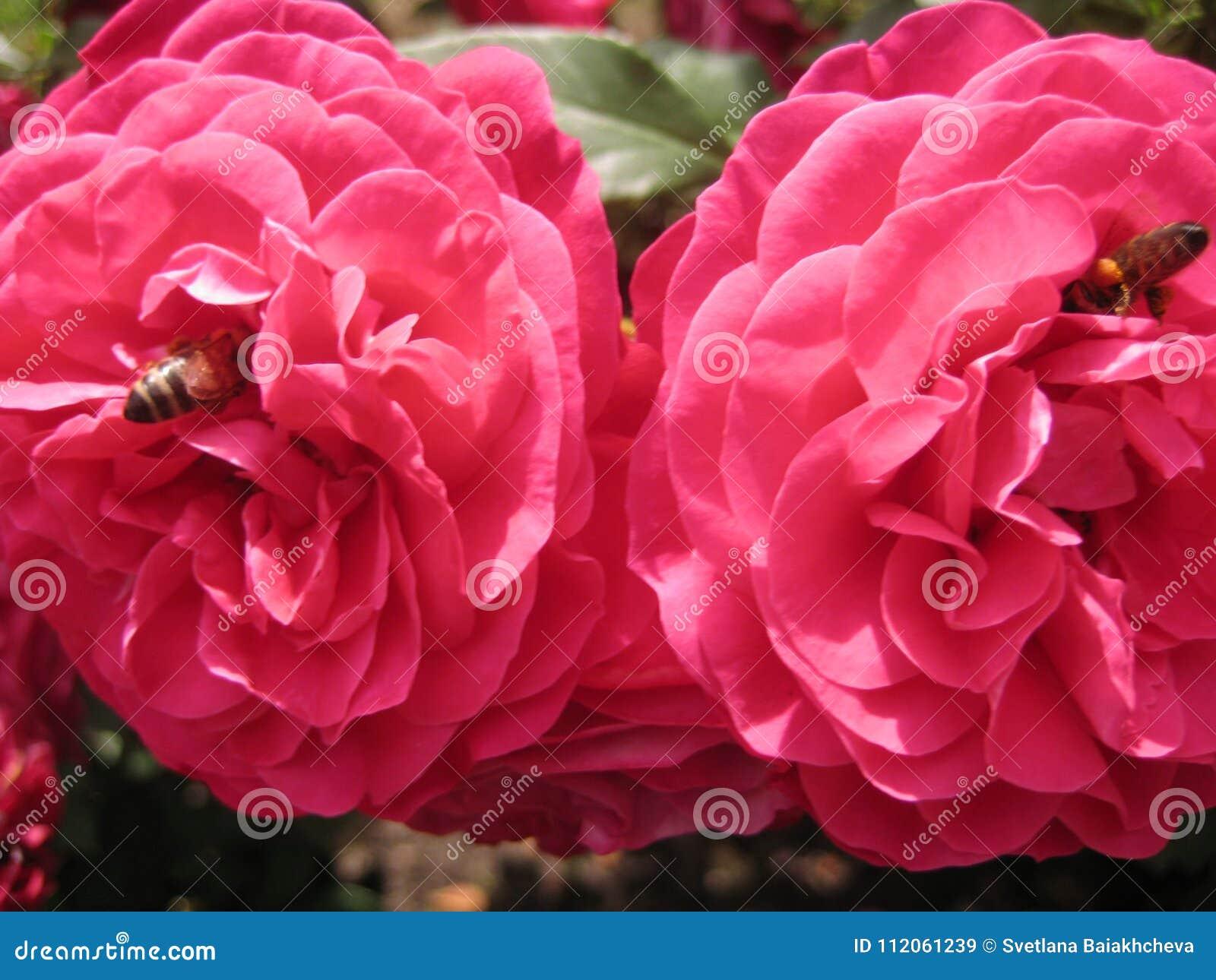 Macro Photo With Decorative Background Of Beautiful Rose Flowers