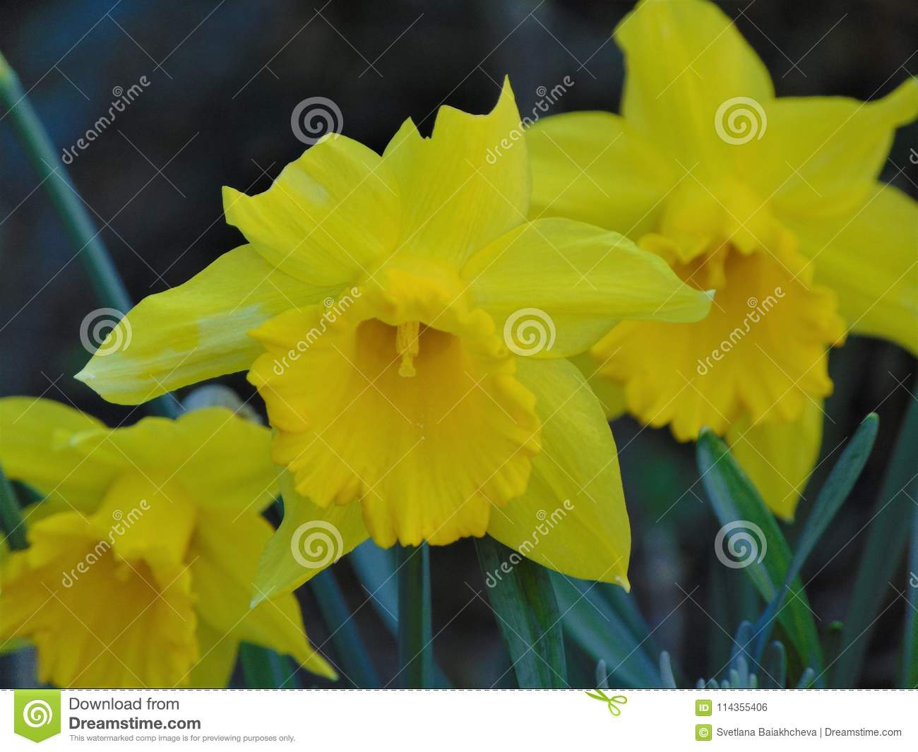 Macro photo with a decorative background of beautiful spring flowers download macro photo with a decorative background of beautiful spring flowers daffodils stock photo image mightylinksfo