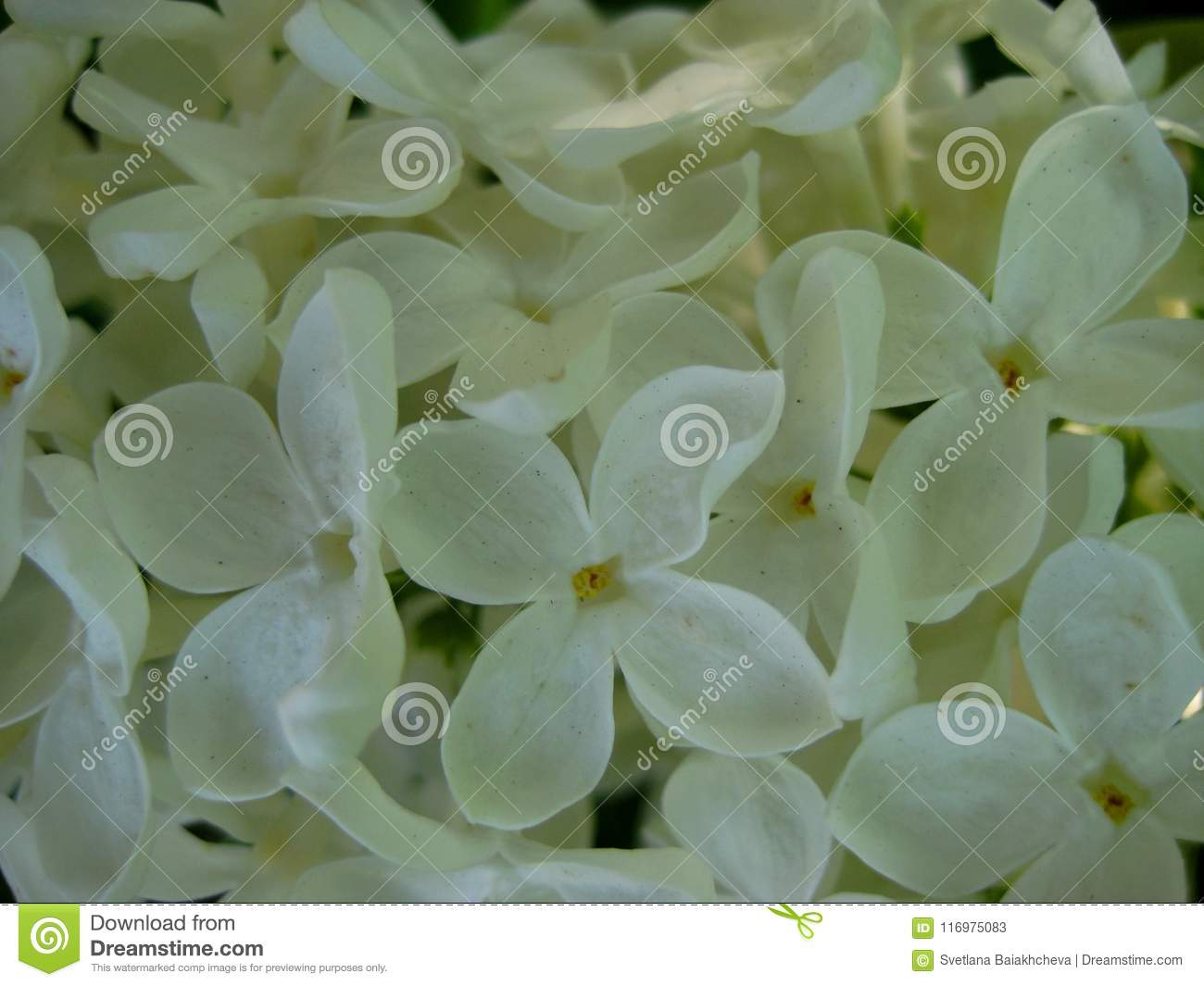 Macro photo with decorative background of beautiful white flowers of lilac tree branch during