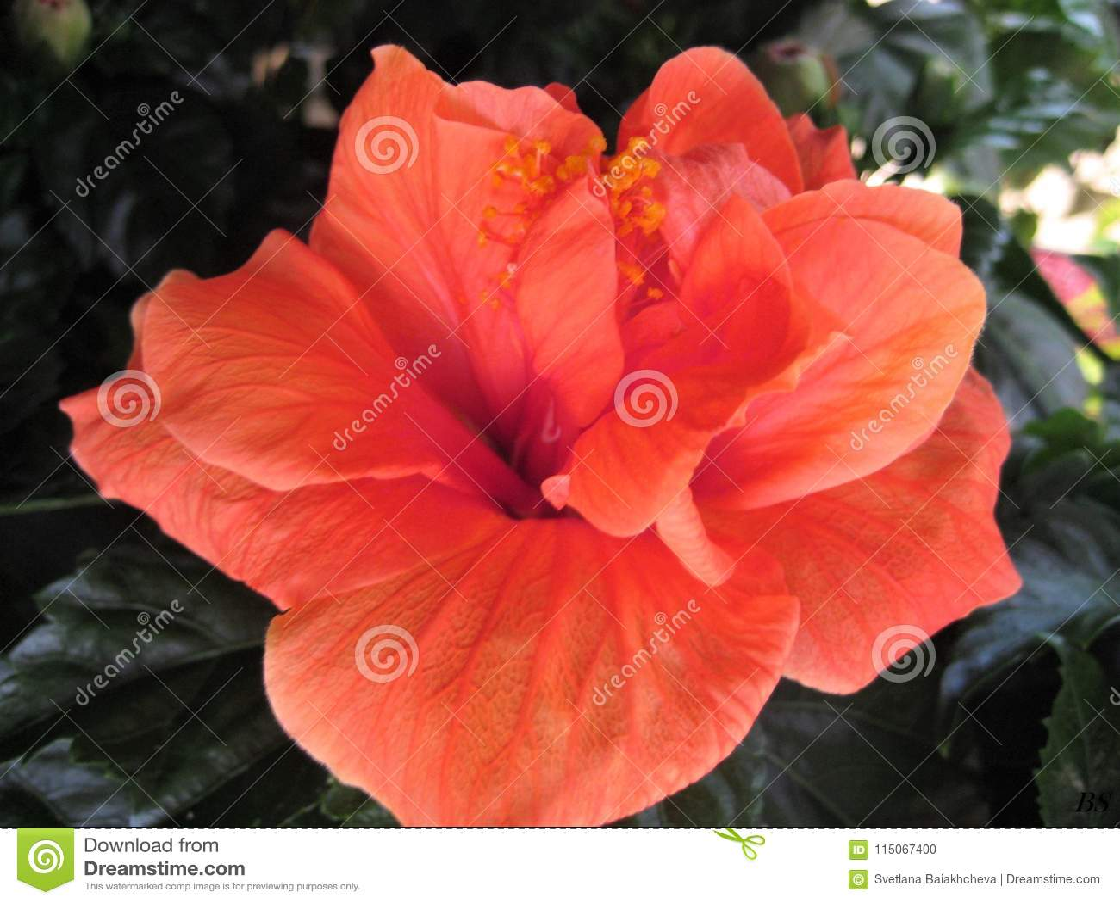 Macro photo with decorative background texture beautiful delicate macro photo with decorative background texture beautiful delicate pink hue color petals hibiscus flower izmirmasajfo