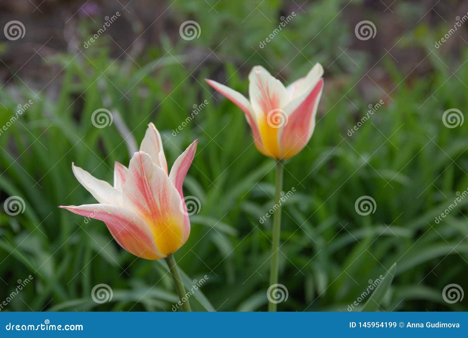 Macro photo des tulipes multicolores
