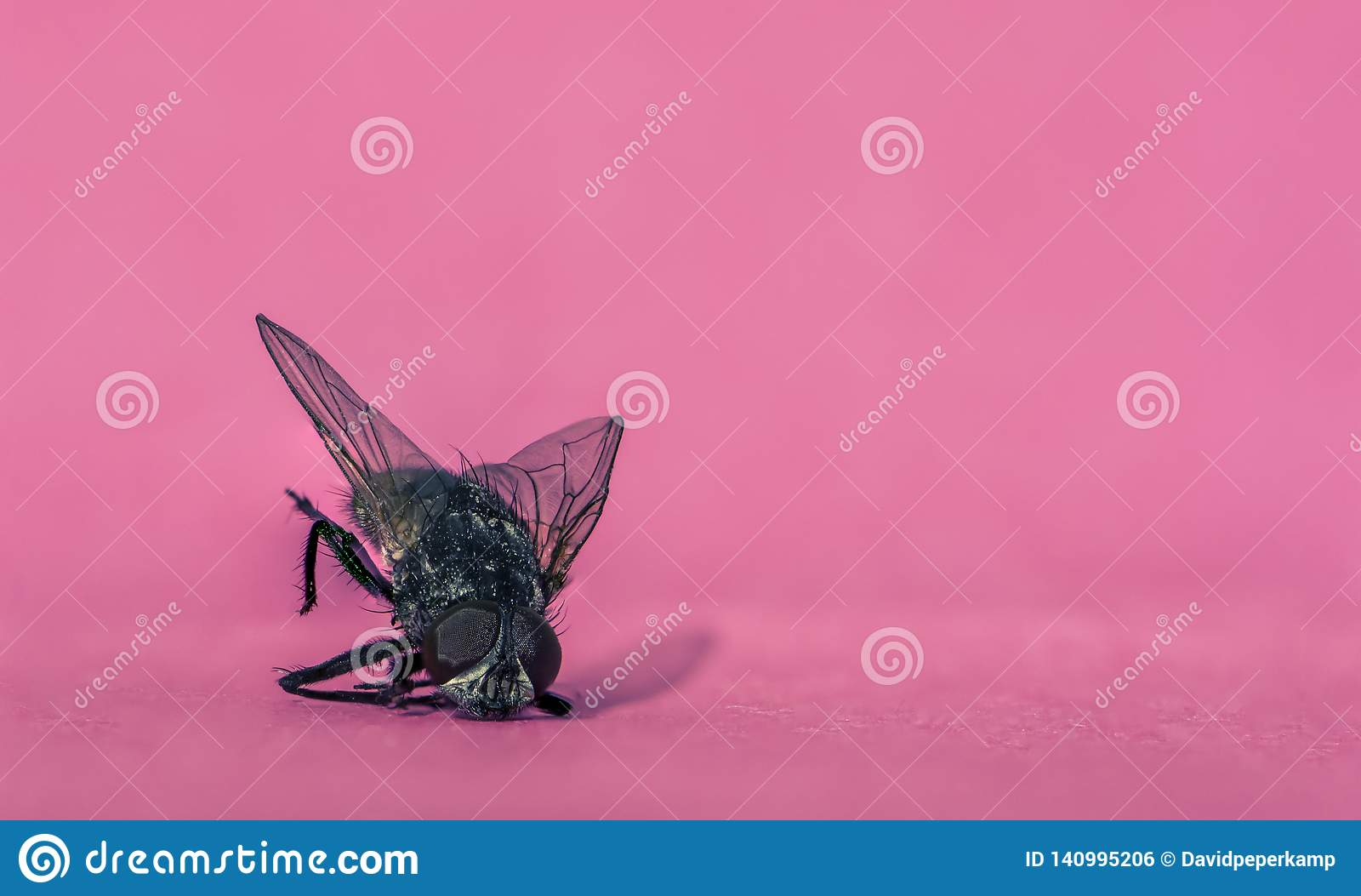 Macro photo fly on a pink memo