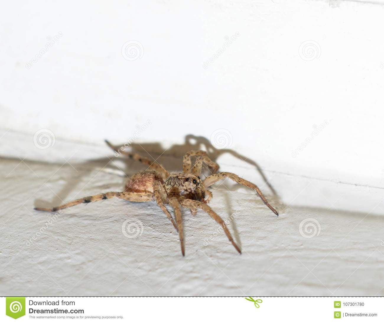 macro photo of a hairy brown wolf spider inside a house