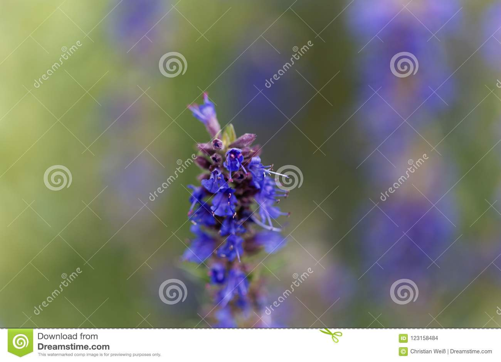 Hyssop flowers Hyssopus officinalis
