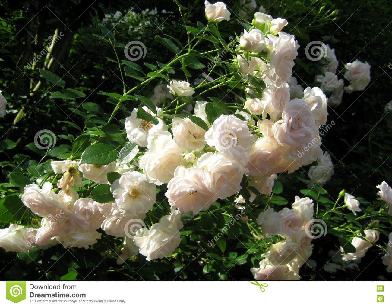 Macro Photo Lush Flowering Bushes Garden Roses With White Flowers