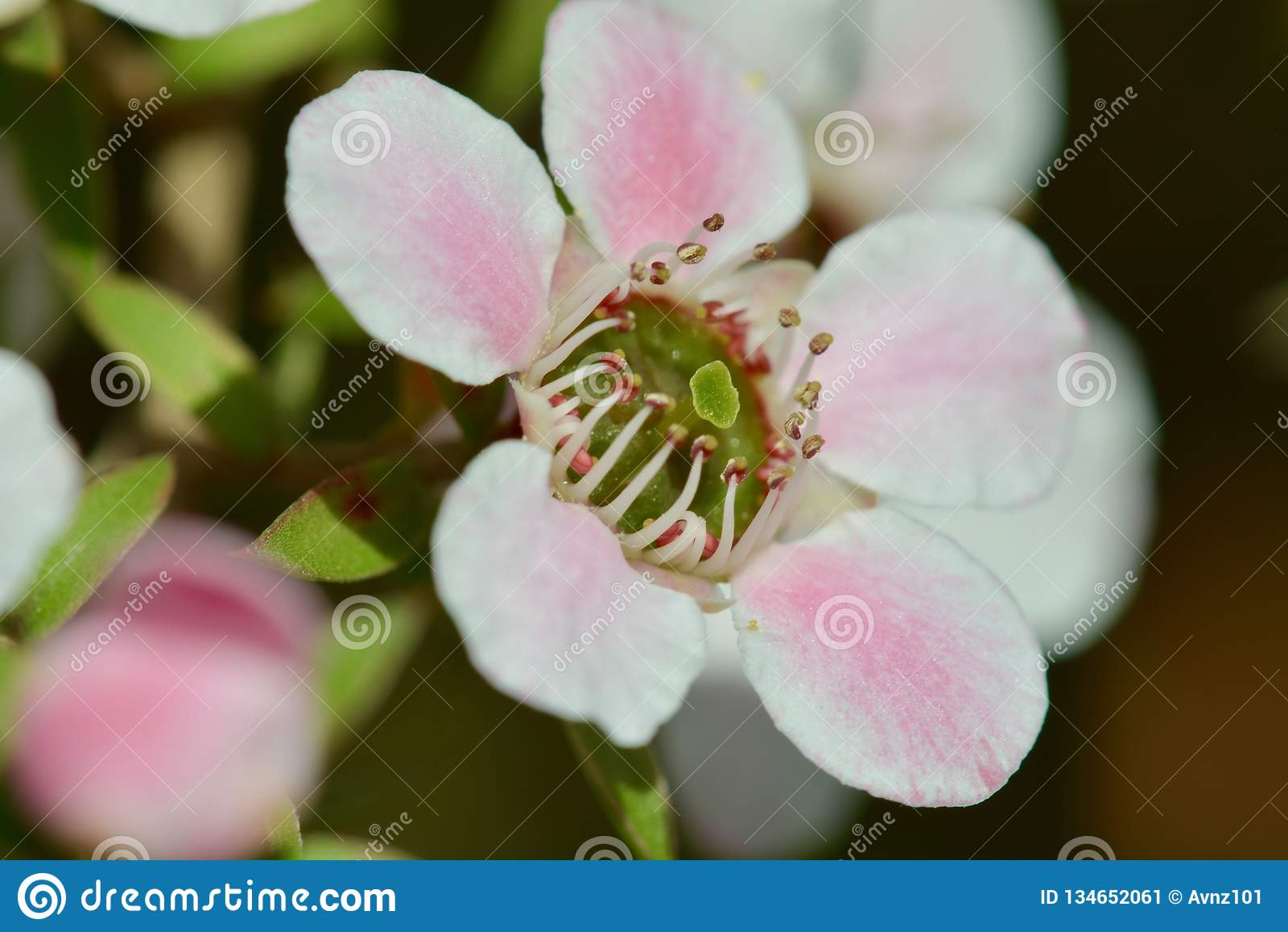 A macro photo of a beautiful Manuka flower Leptospermum scoparium, or New Zealand teatree, a source of wonderful Manuka honey