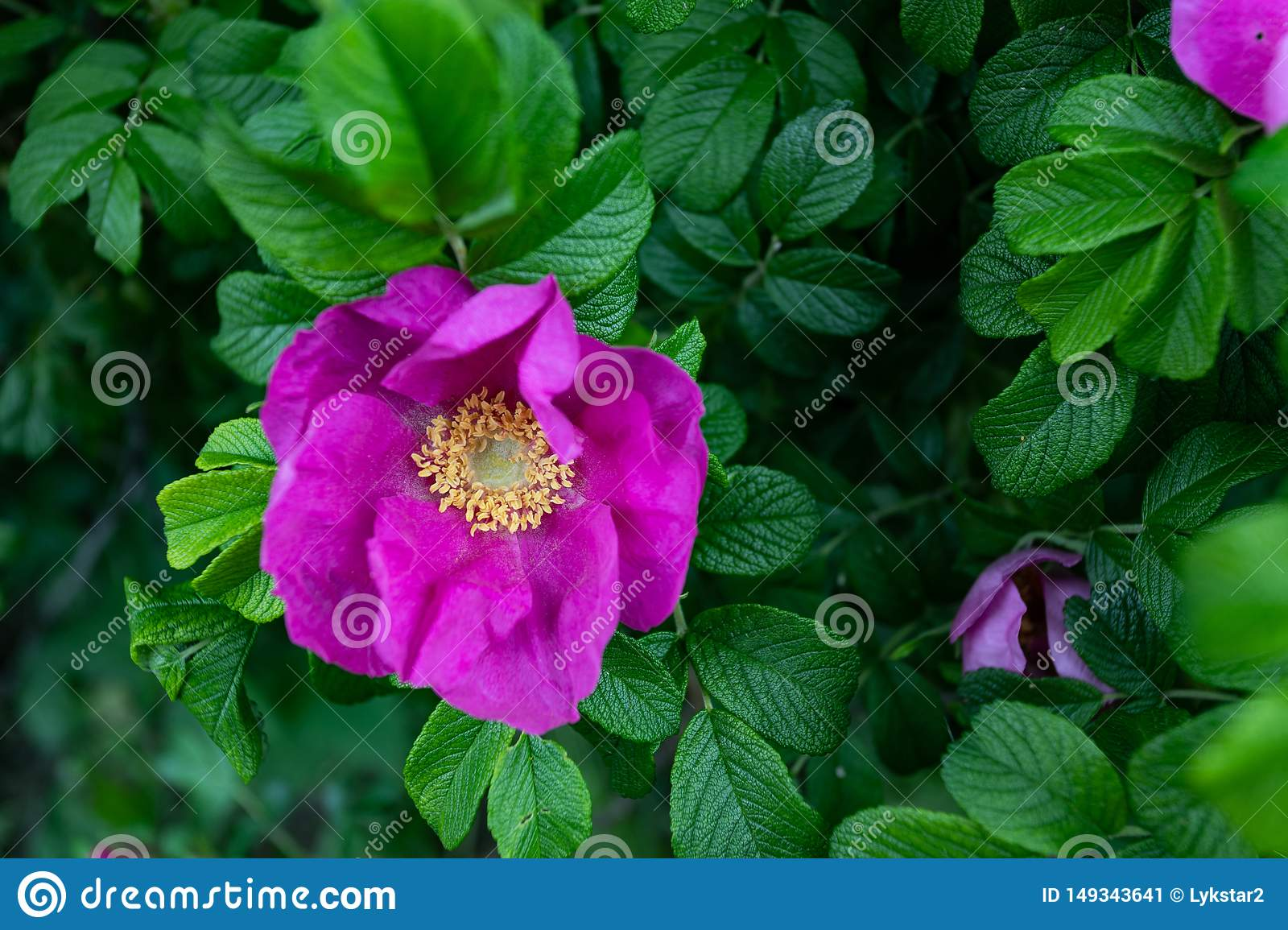 Macro photo nature blooming dogrose. Background texture of pink rosehip buds flowers. An image of a flowering shrub plant dog rose