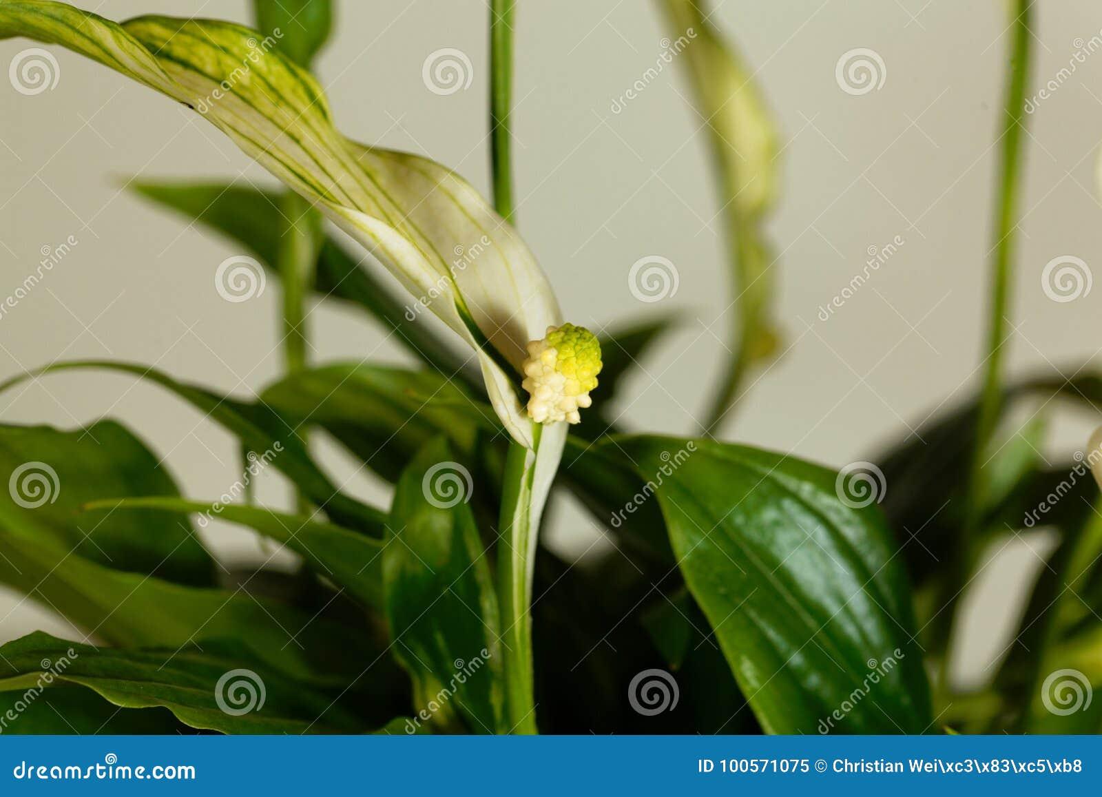 Peace Lily Flower Spathiphyllum Floribundum Stock Image Image Of