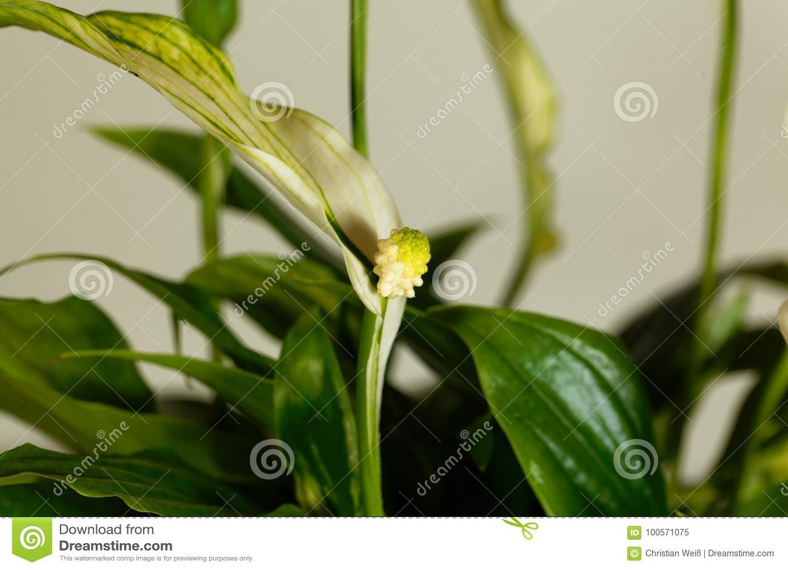 Peace lily flower spathiphyllum floribundum stock image image of peace lily flower spathiphyllum floribundum park nature izmirmasajfo