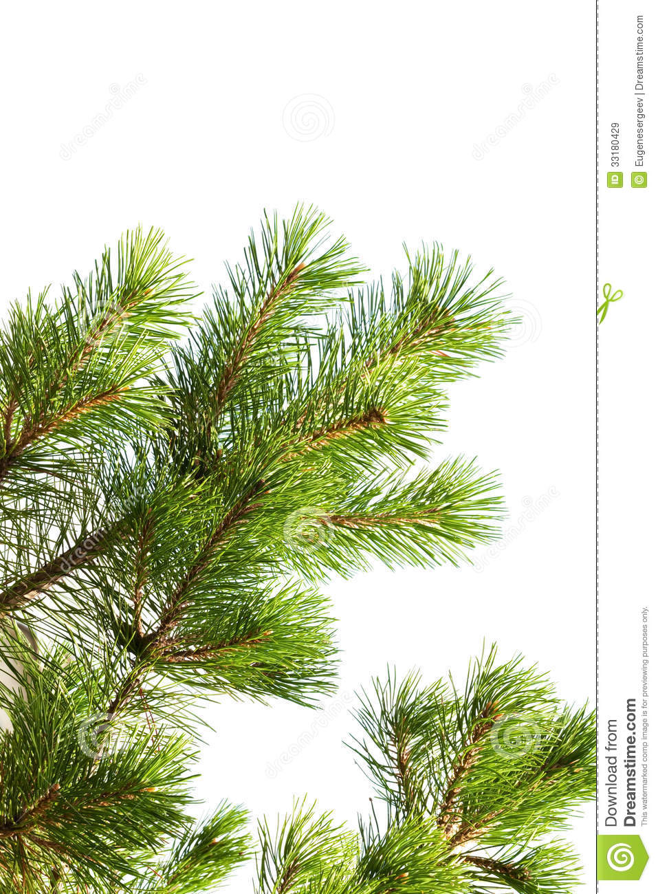 Macro photo of pine tree branch isolated