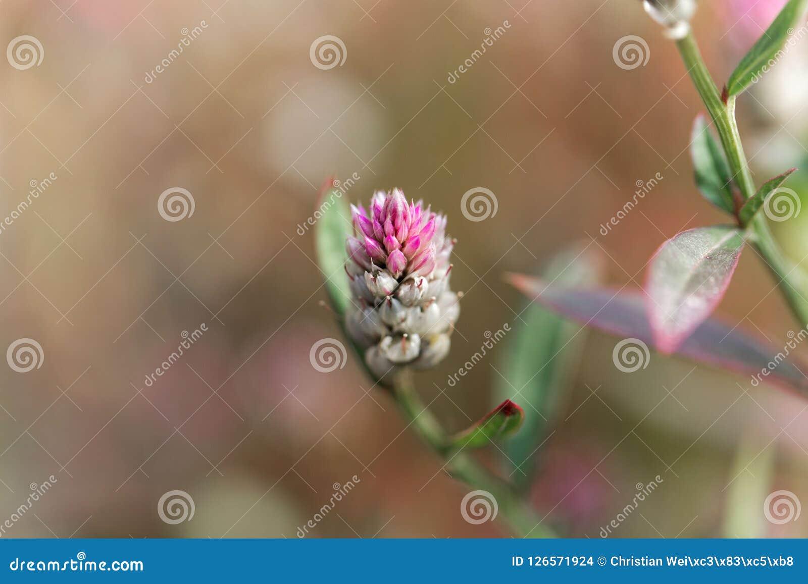 Plumed Cockscomb Flower Celosia Argentea Stock Photo Image Of