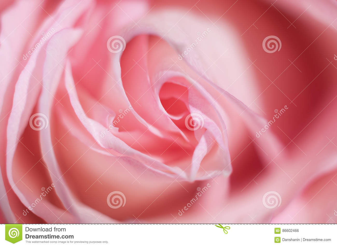 Macro Photo Of Sweet Pink Rose Soft Image Selective Focus Use In Photography For Dummies Romantic Background