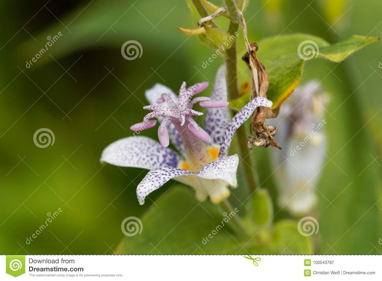 Toad lily flower tricyrtis hirta stock image image of hairy green toad lily flower tricyrtis hirta hairy green royalty free stock photo download toad lily flower izmirmasajfo