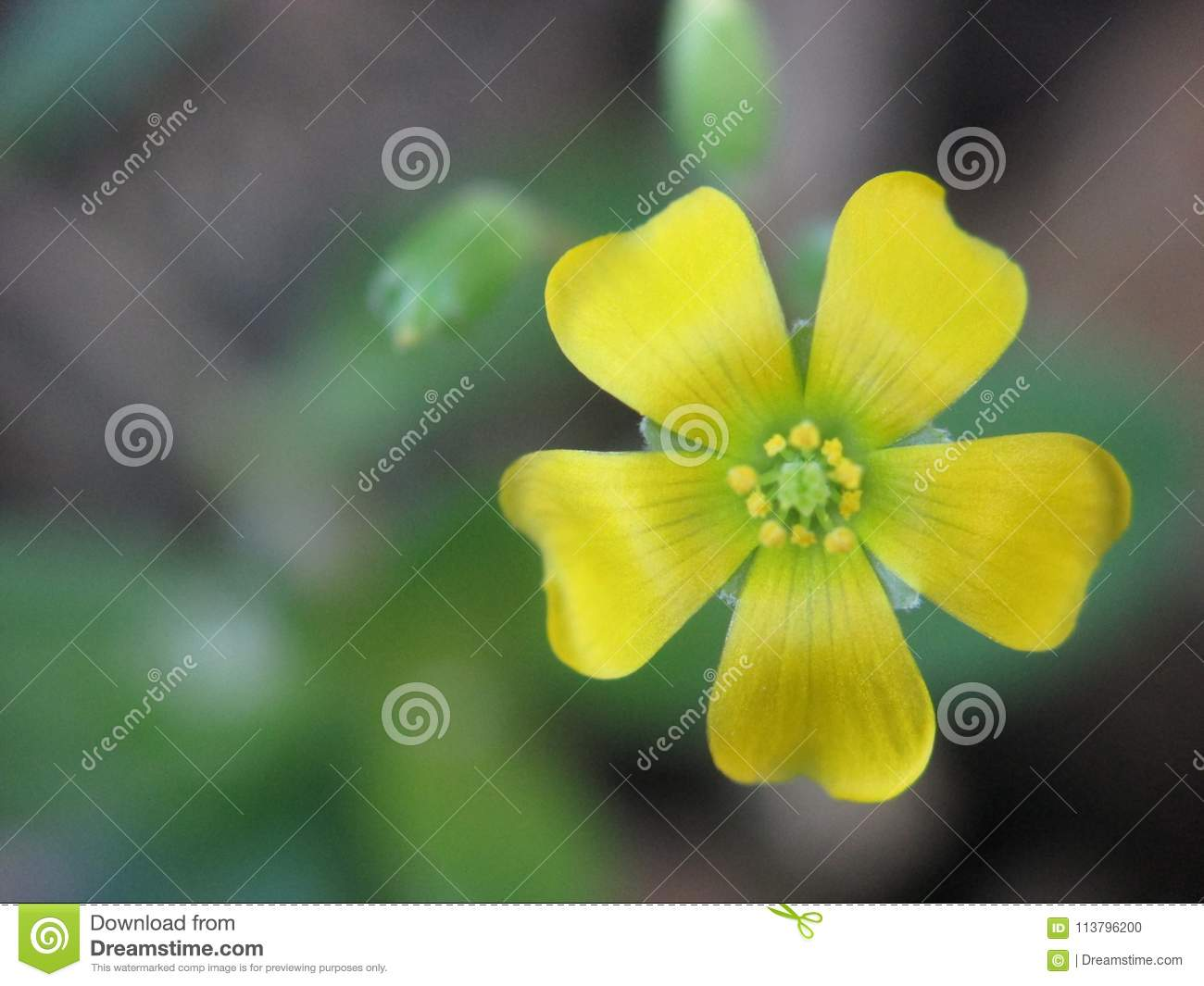 Yellow Flower That Have Five Petals Stock Photo Image Of Small