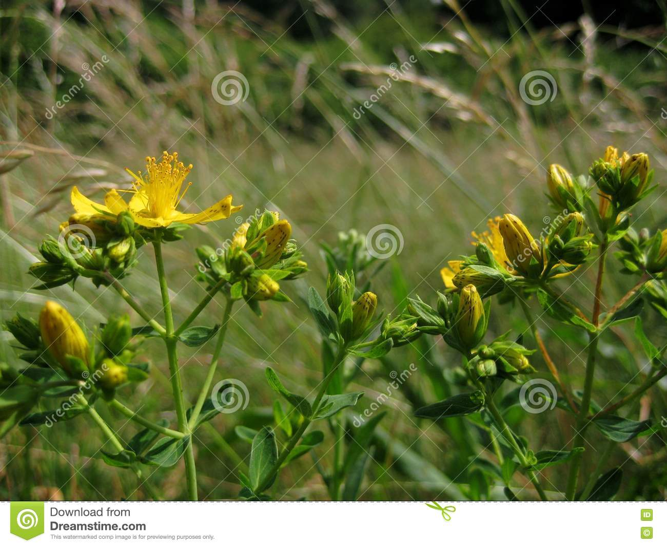 Macro Photo Of Yellow Flowering Medicinal Wild Plants Of The