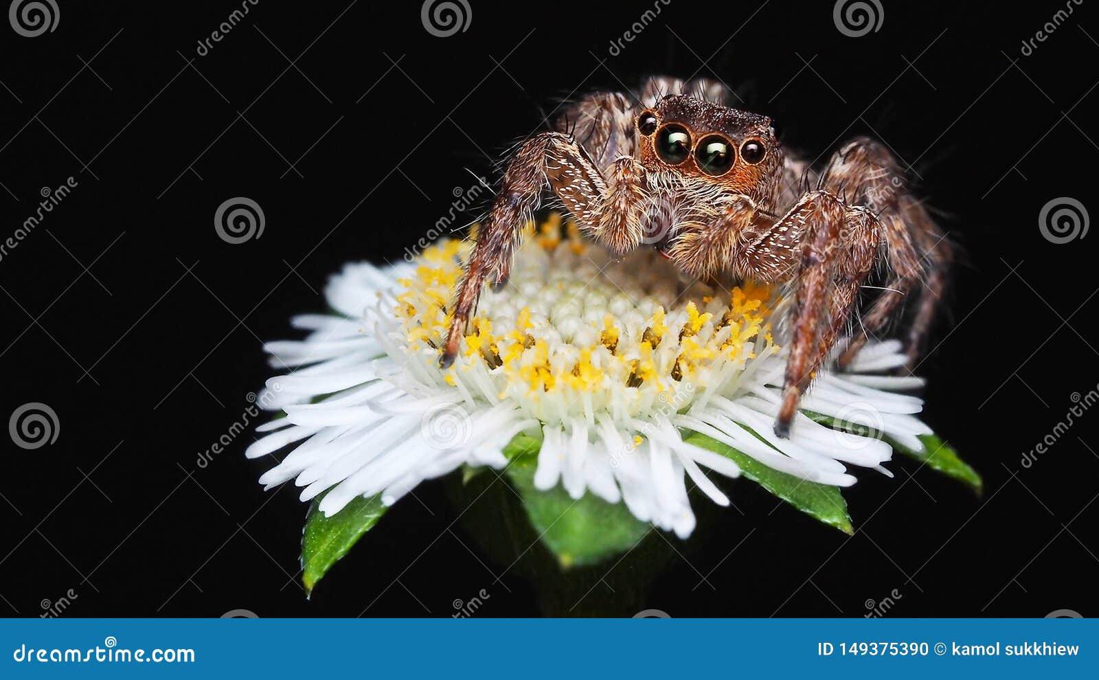Macro photographie d araignée sautante brune d isolement sur peu de fond de noir de fleur blanche