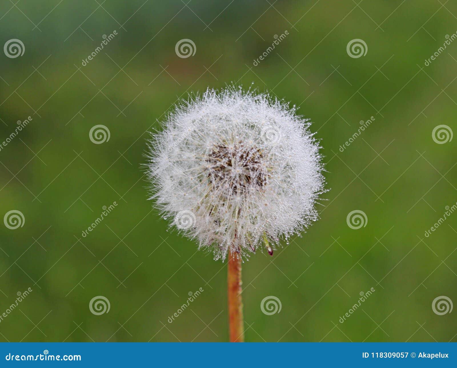 Macro Photographie D Une Boule Blanche D Une Fleur De Pissenlit Sur