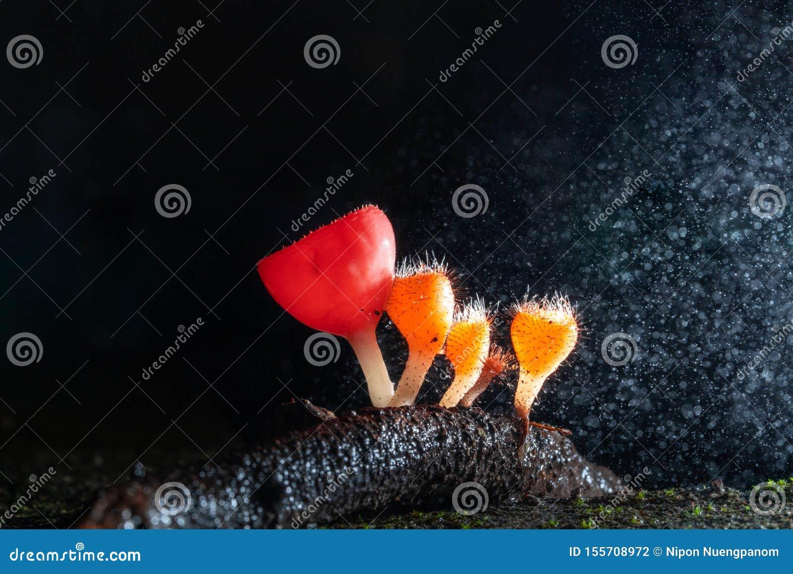 Macro photographie de champignon de Cookeina dans la forêt tropicale, champignon orange minuscule de Cookeina