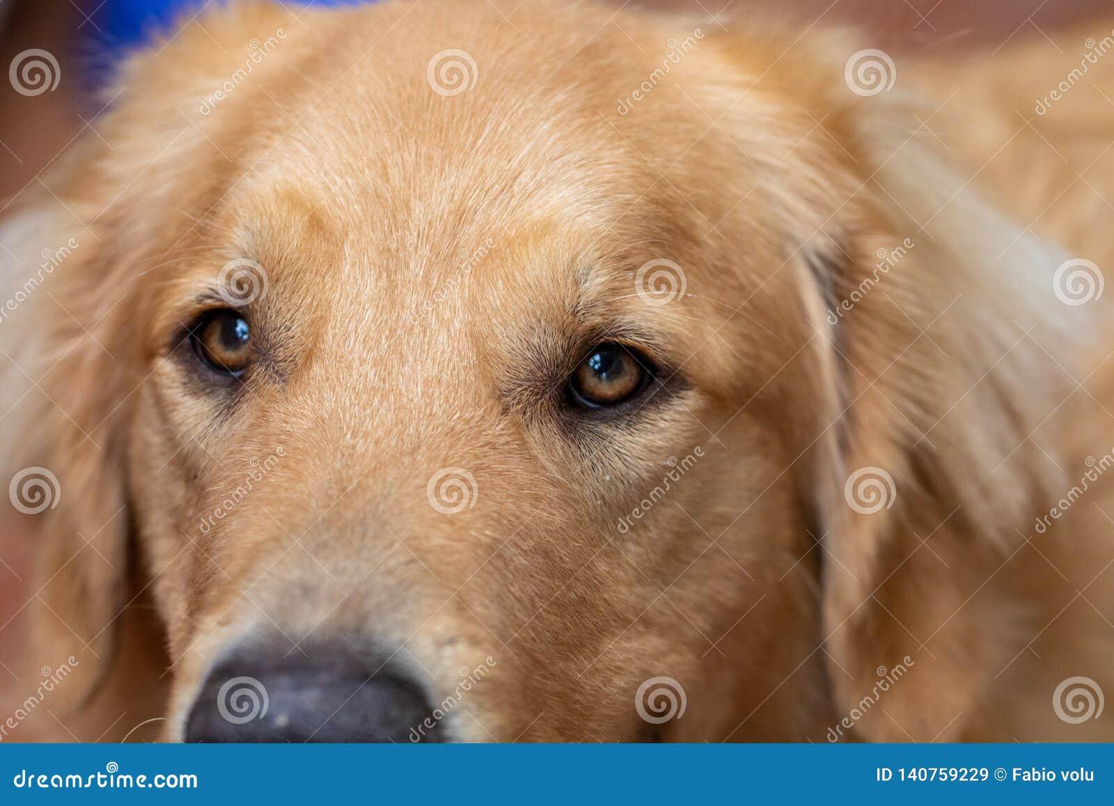 Macro photographie des yeux d un chien attentif et heureux de golden retriever