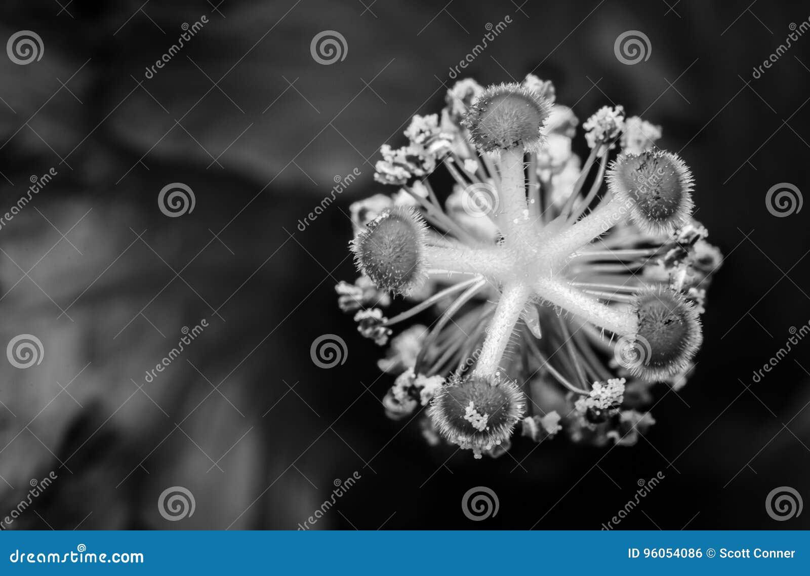 Macro photographie noire et blanche d étamine et de pistil d une ketmie