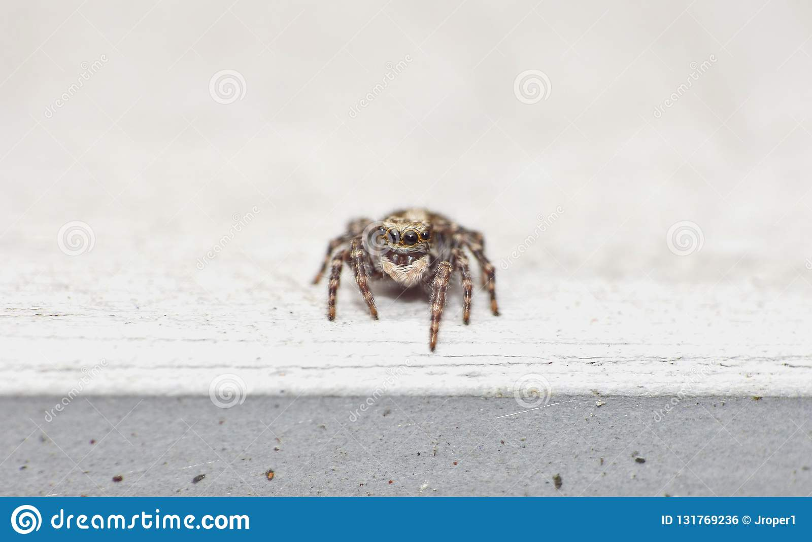 Macro photography of a jumping spider, photo taken in the UK