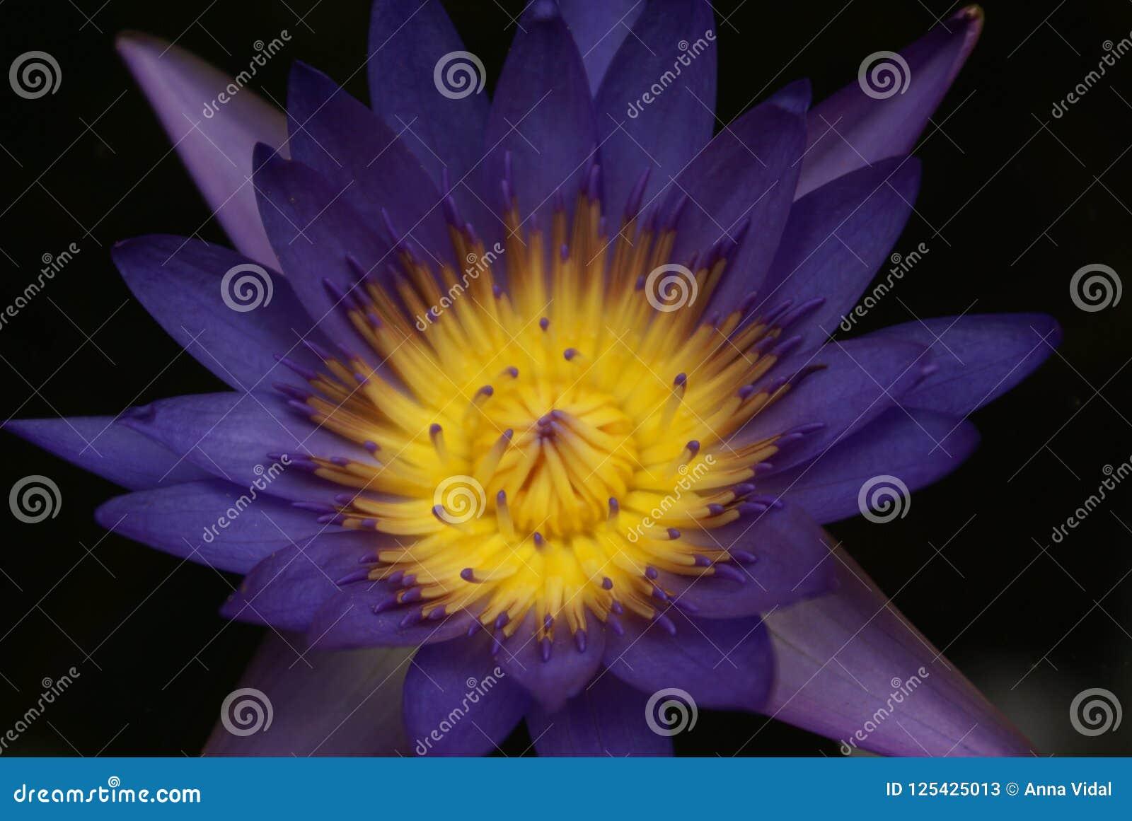 Macro Photography Lotus Flower In Phuket Botanical Garden Stock
