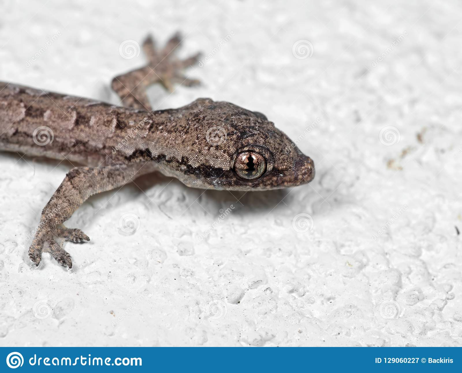 Macro Photo Of Mediterranean House Gecko On White Floor Stock Image