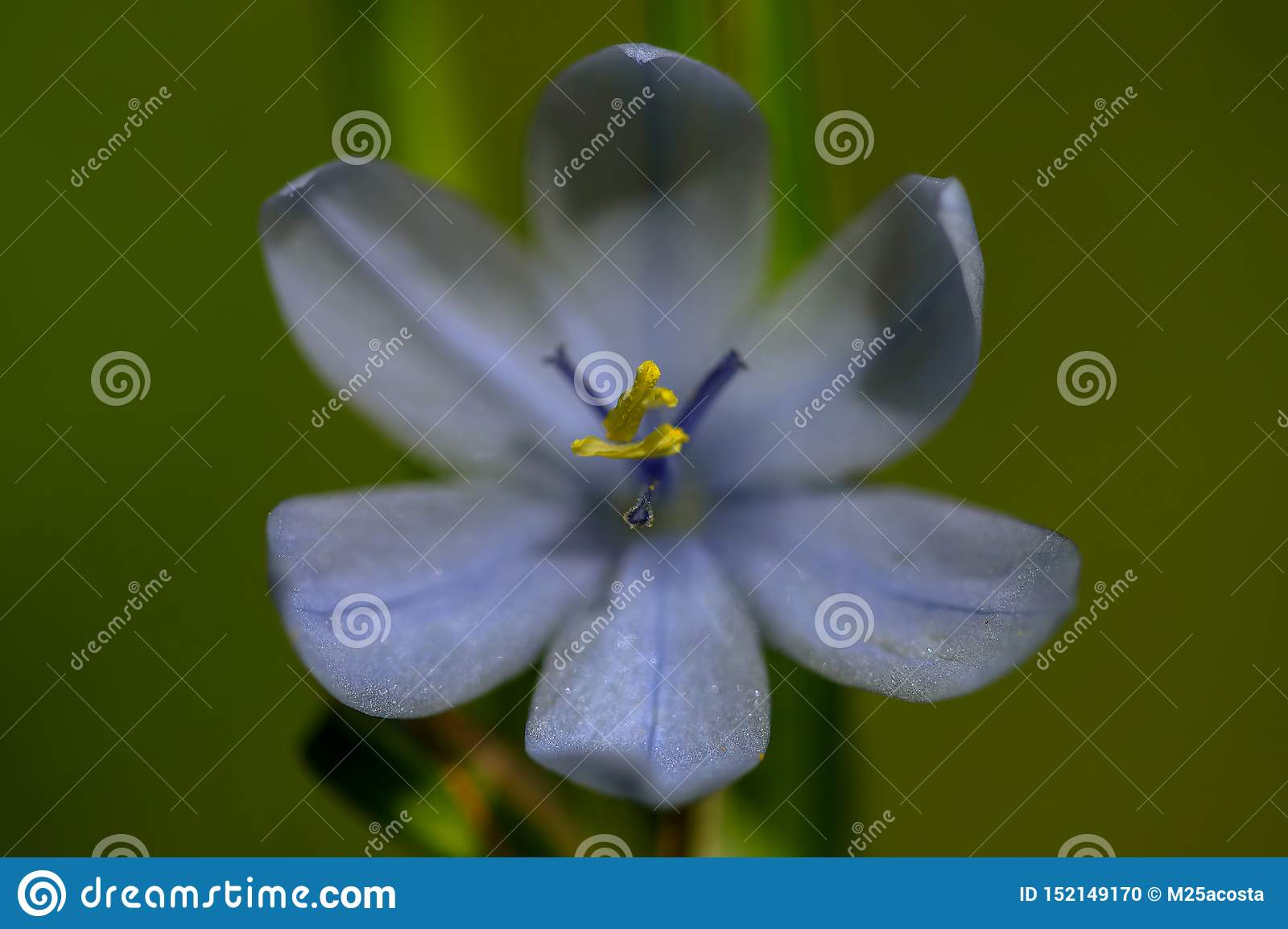 Macro photography of a morning-flag flower