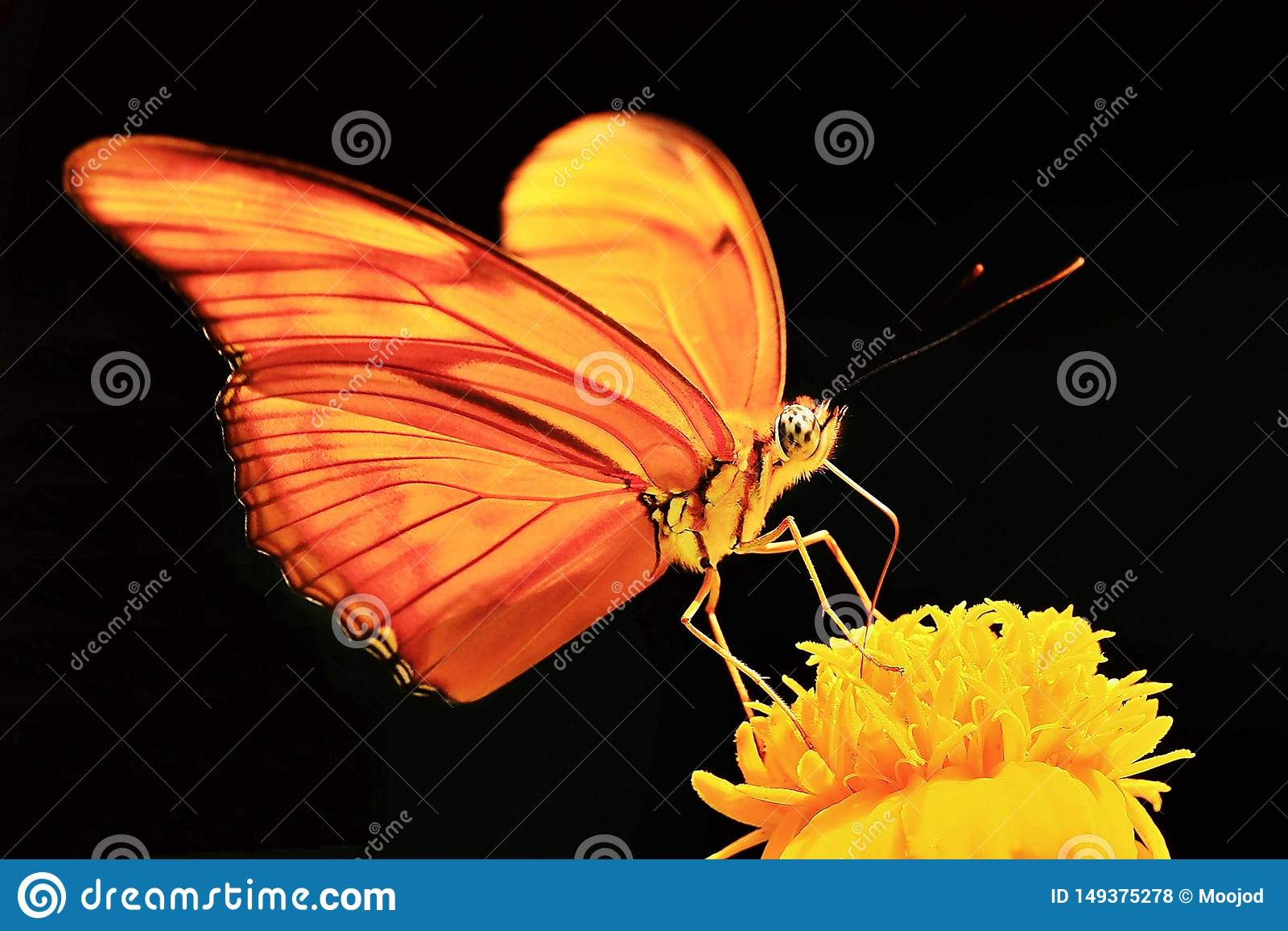 Macro photography of orange butterfly yellow flower black background