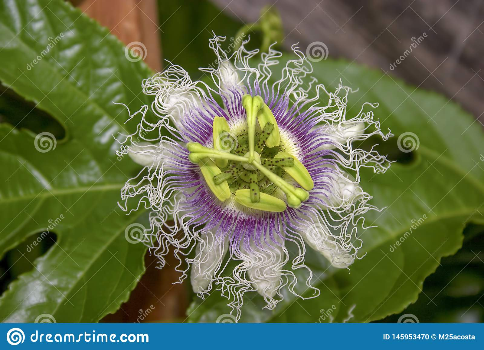 Macro photography of a passion fruit flower