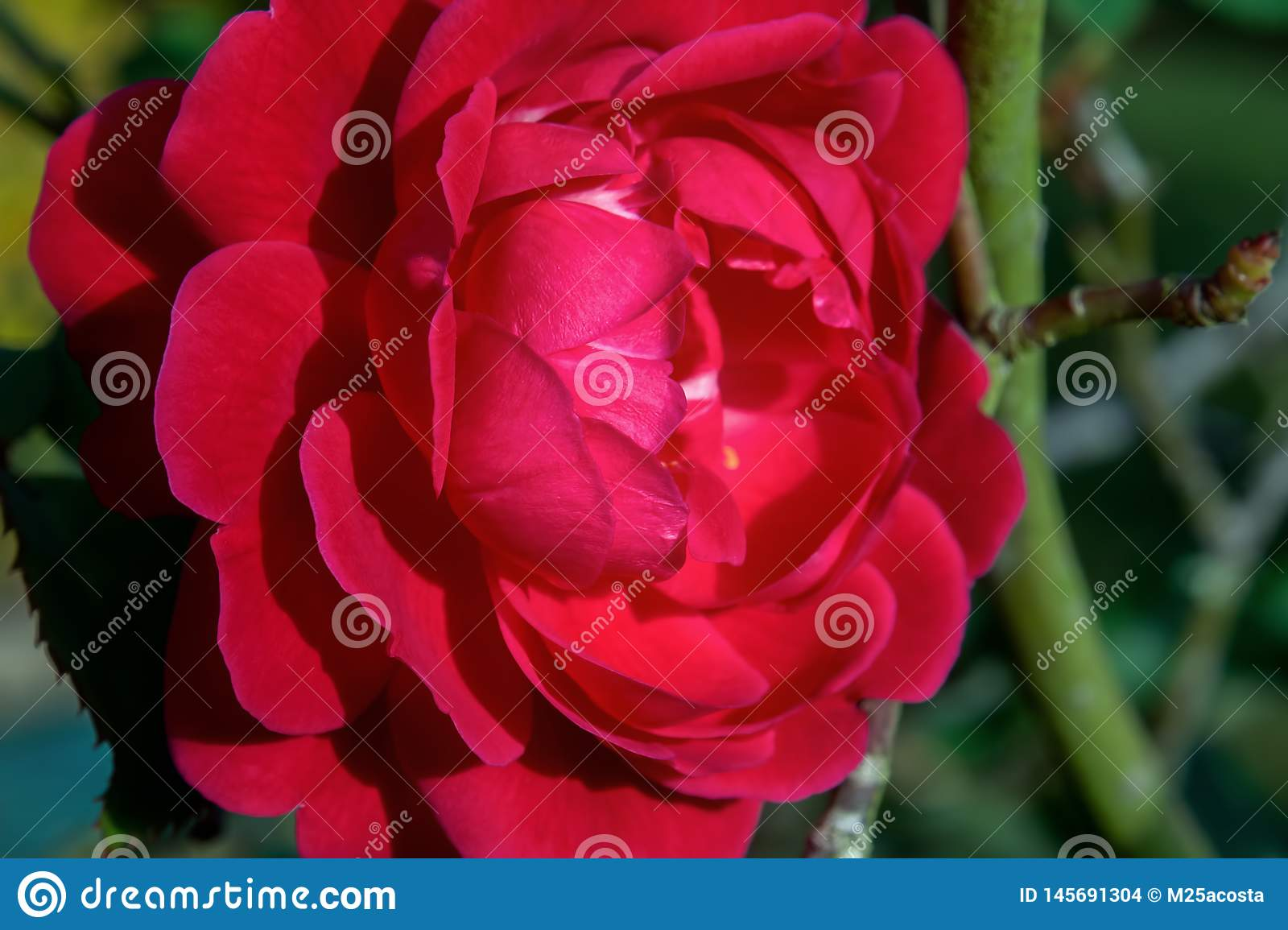 Red common camellia flower in a garden