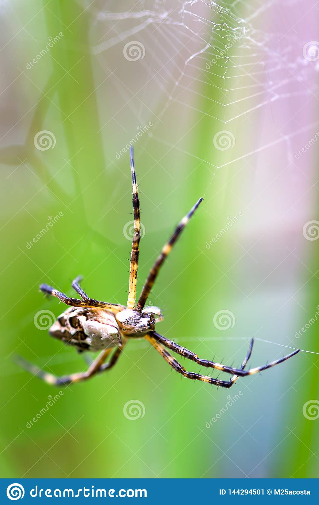 Macro photography of a silver argiope spider