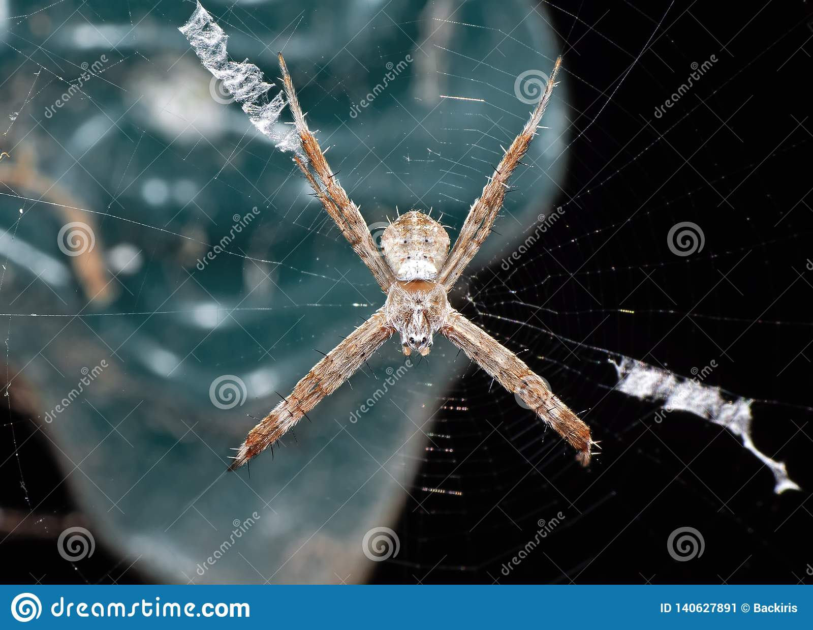 Macro Photo of St Andrew`s Cross Spider on Web Isolated on Background