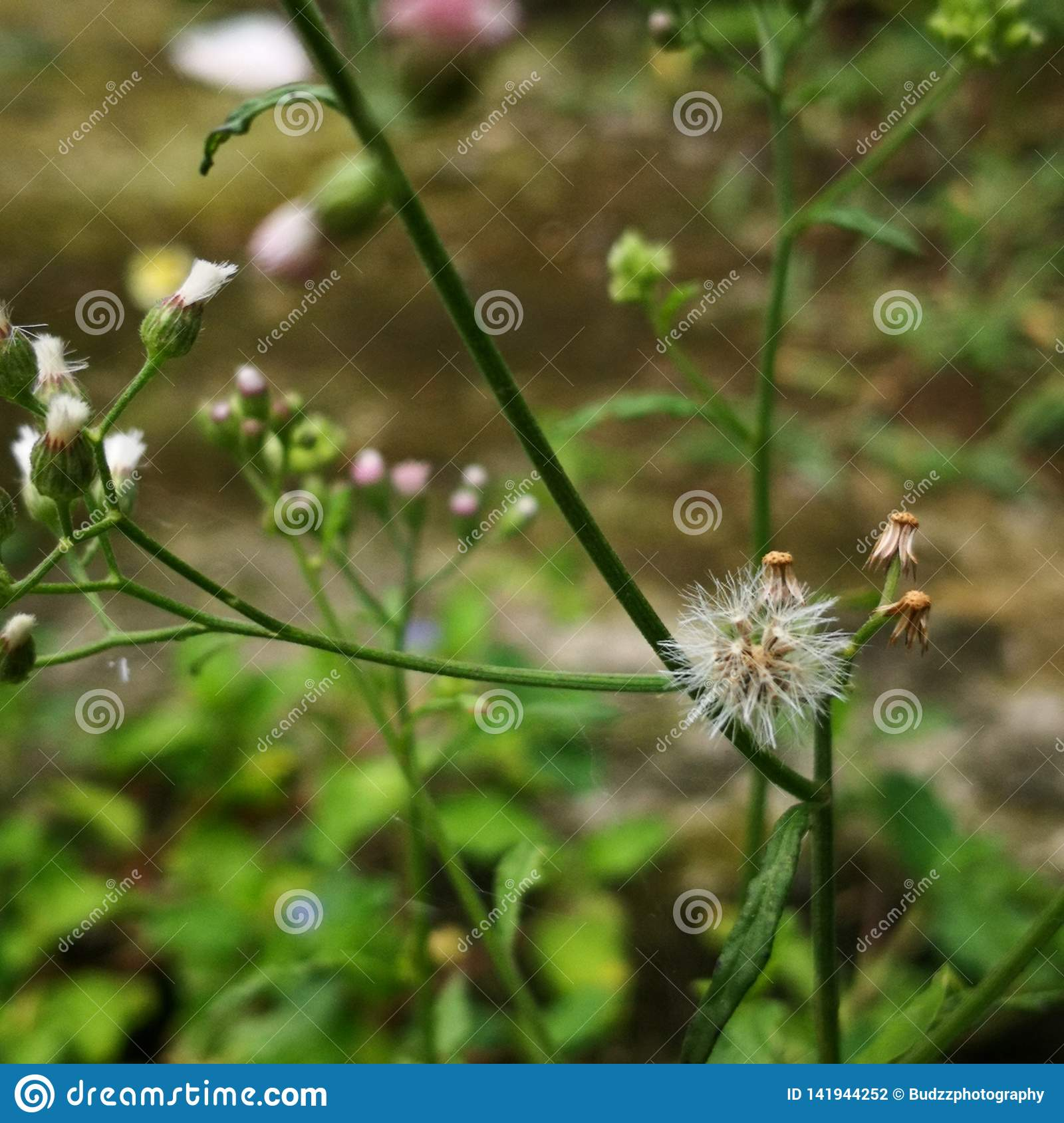Macro photography of tiny colorful wild grass flower or dandelion. Copy space added.