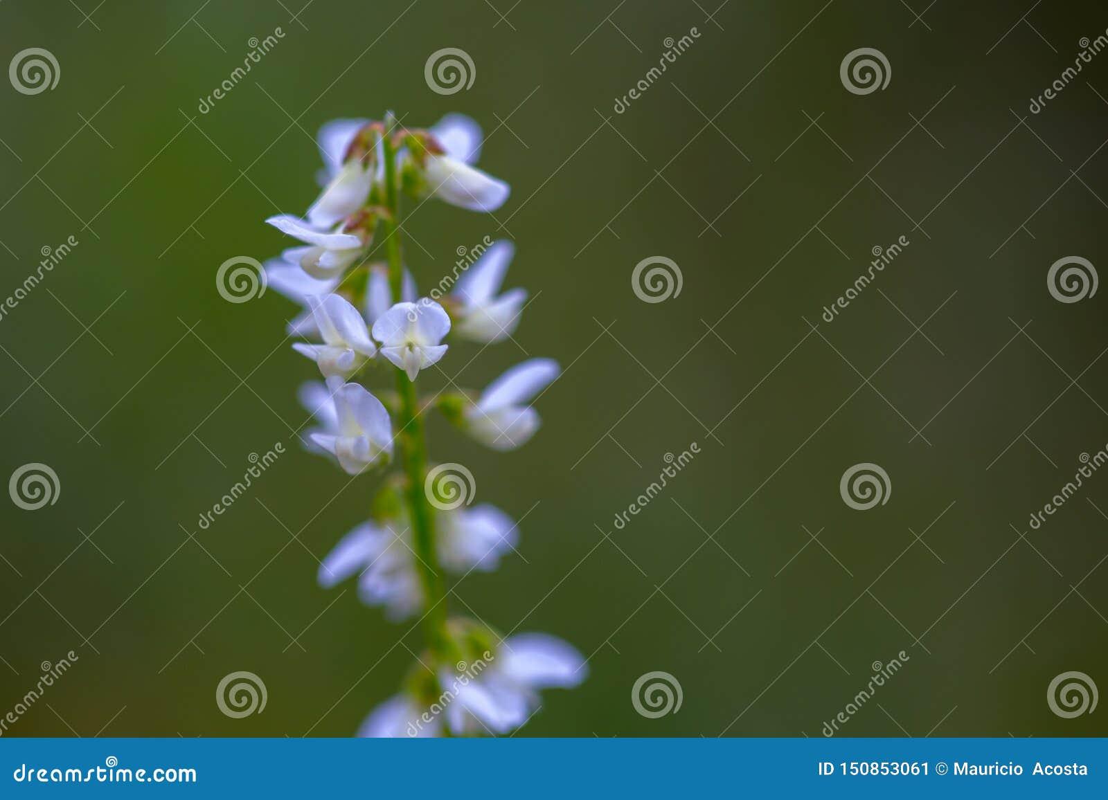 Macro photography of very tiny white wildflowers