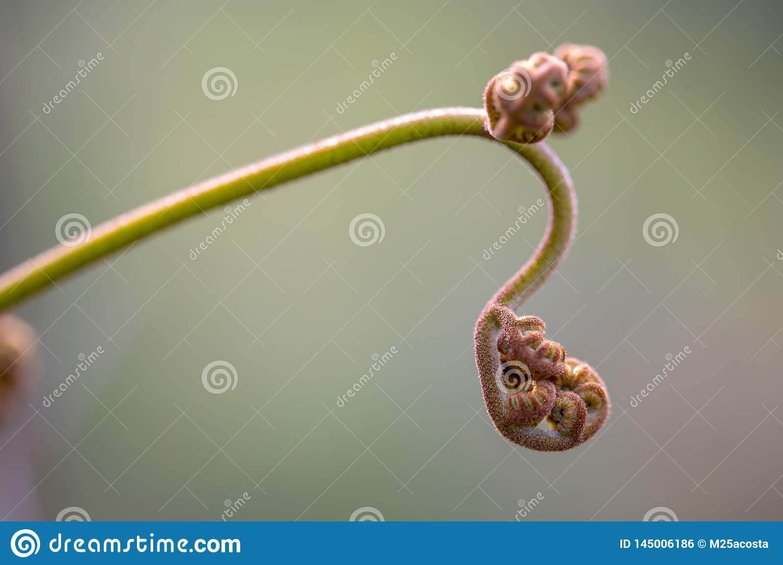 Young frond of an eagle fern
