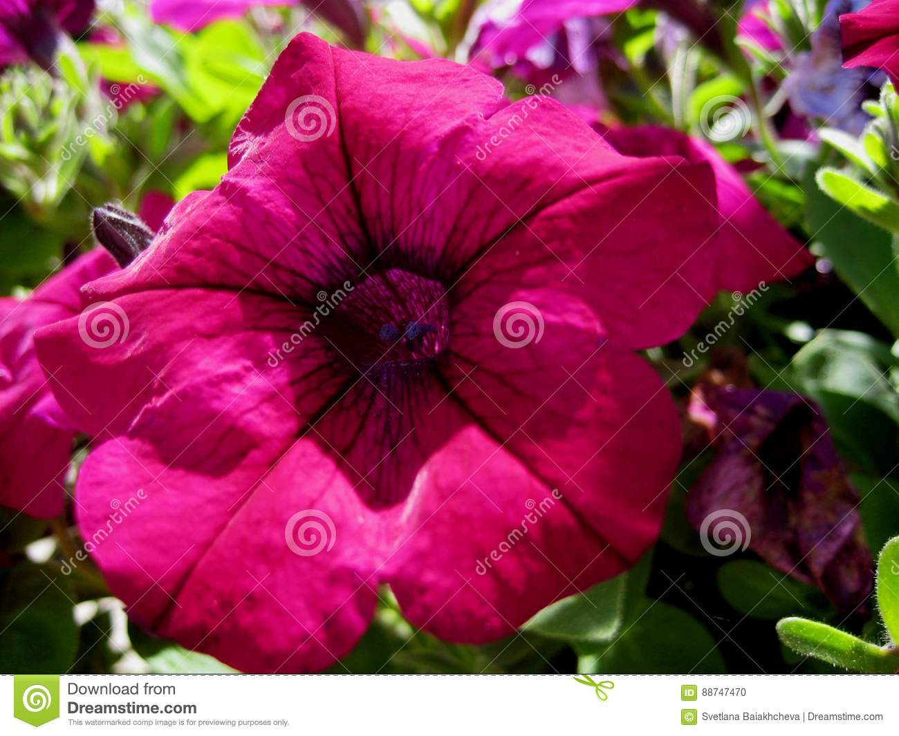 Macro Photos With Bright Beautiful Flowers Of Petunia For