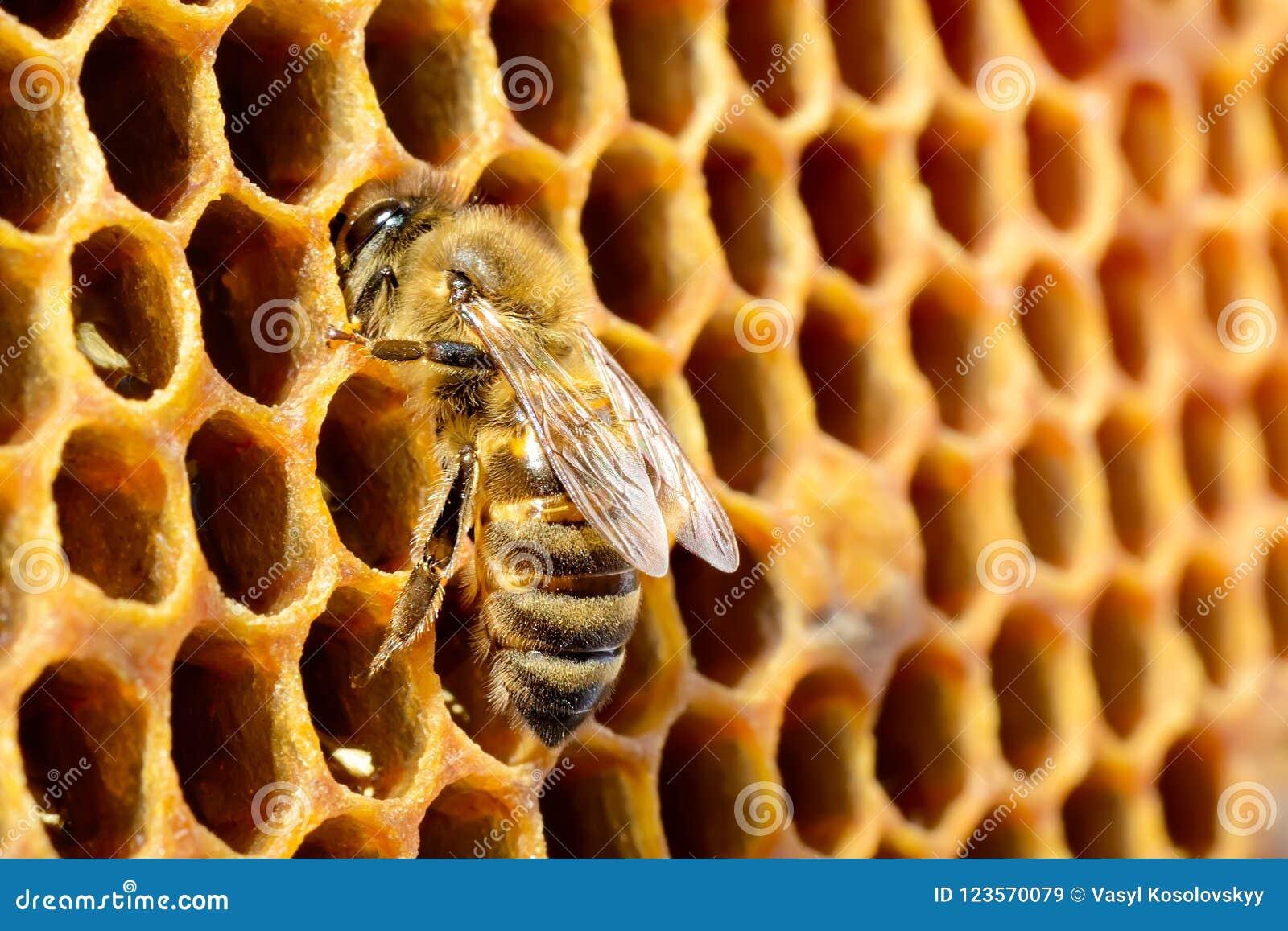Macro photos d abeille dans une ruche sur le nid d abeilles avec le copyspace Les abeilles transforme le nectar en miel frais et
