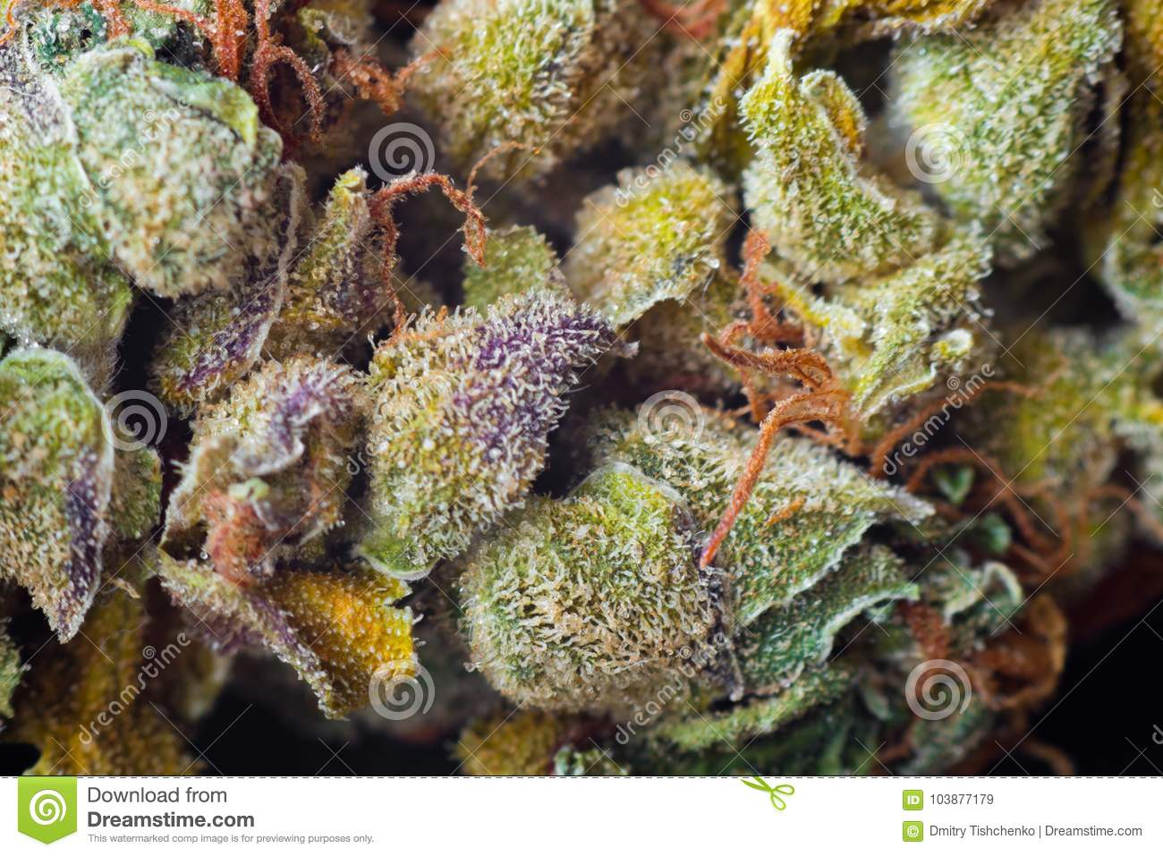 Macro photos of marijuana harvest cones with leaves covered with trichomes. The cannabis plant clse view.