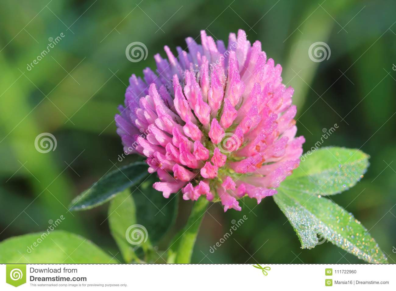 Macro Of A Pink Clover Flower Stock Photo Image Of Grass Blurred