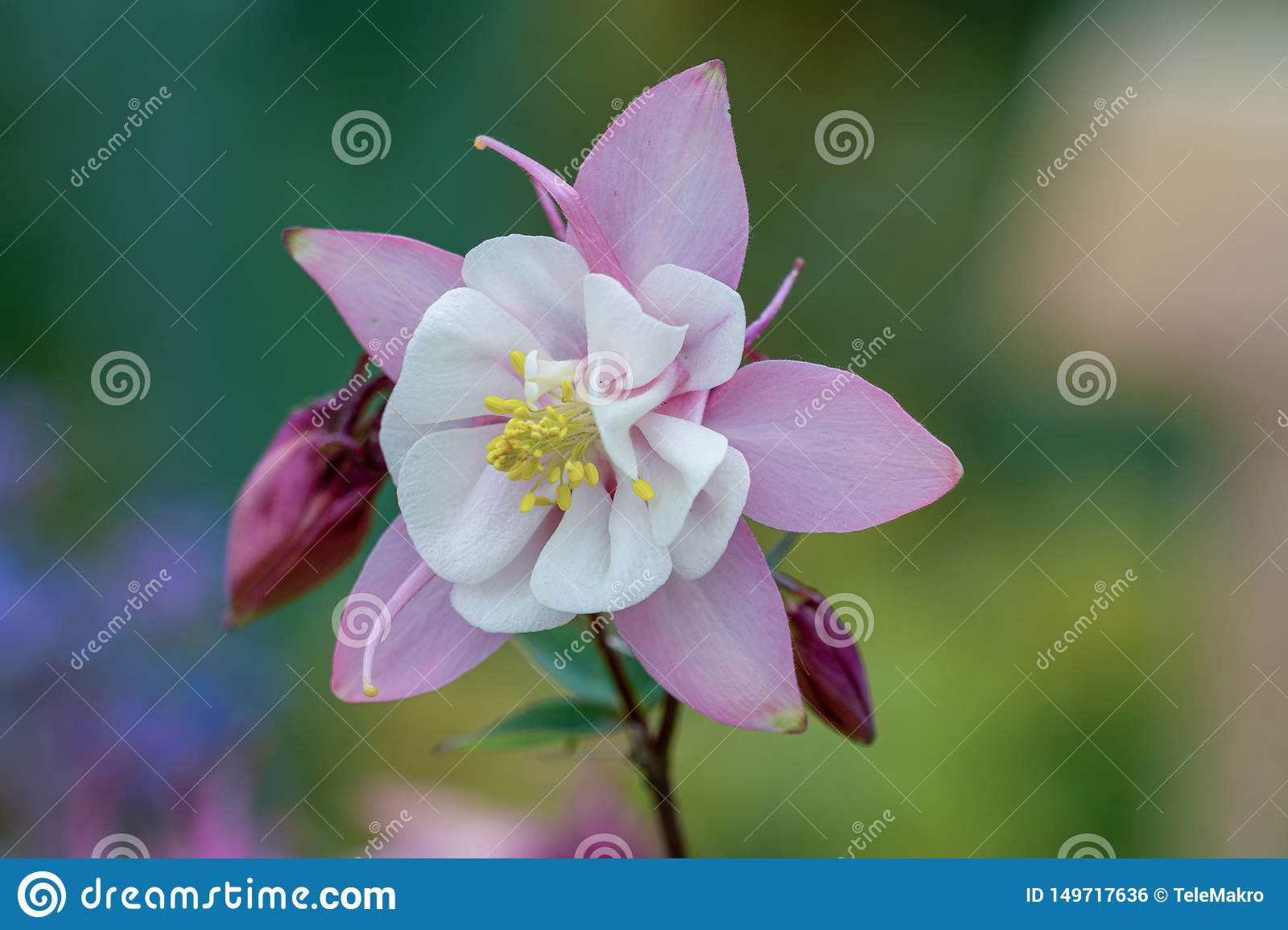 Macro of a pink columbine flower