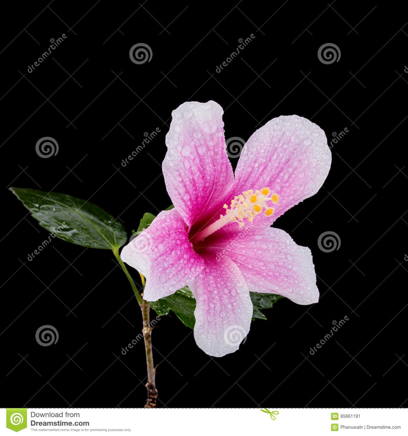 Macro pink hibiscus flower studio shot isolated on black stock download comp izmirmasajfo