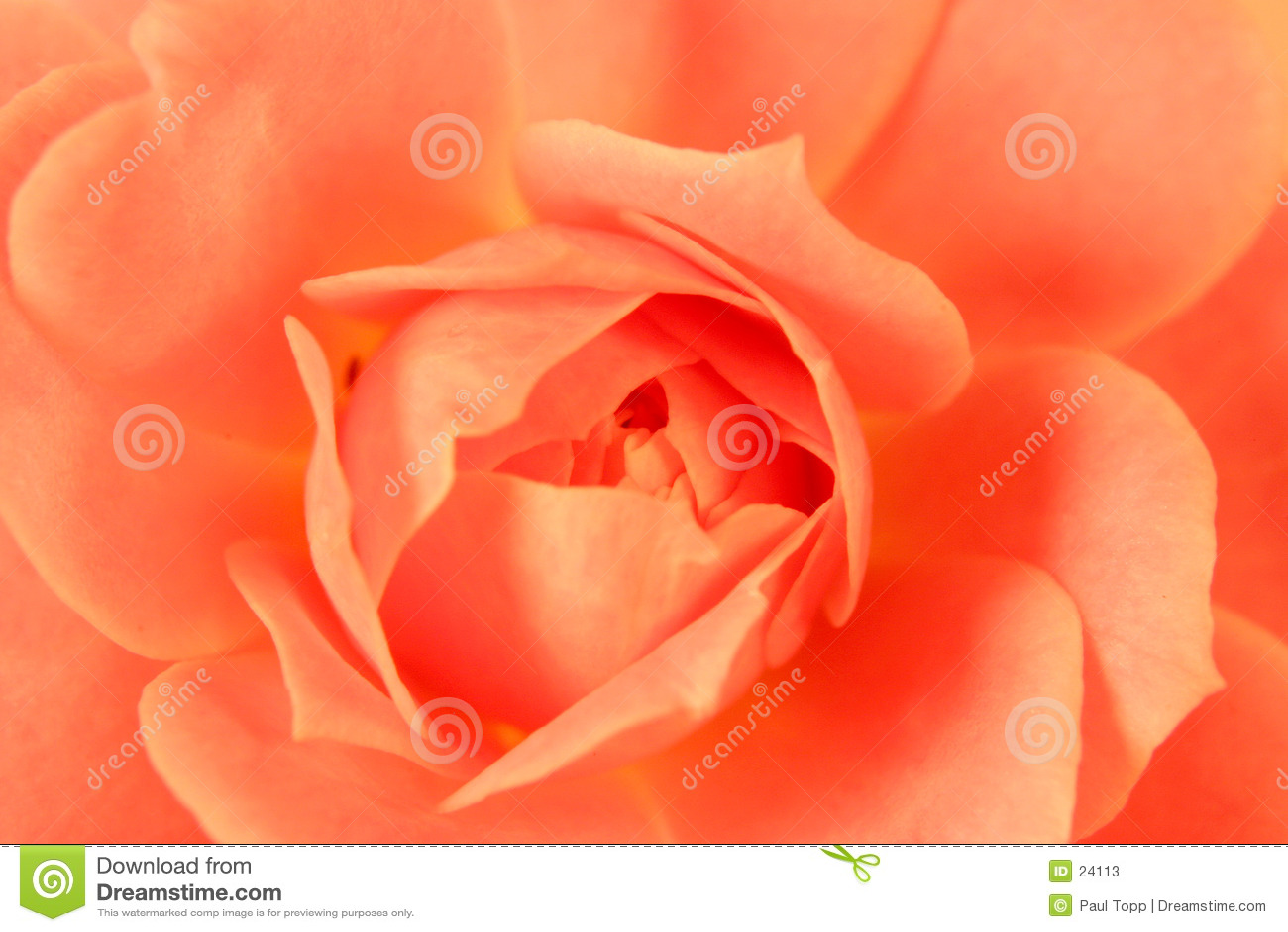 Macro Pink Rose Pedals