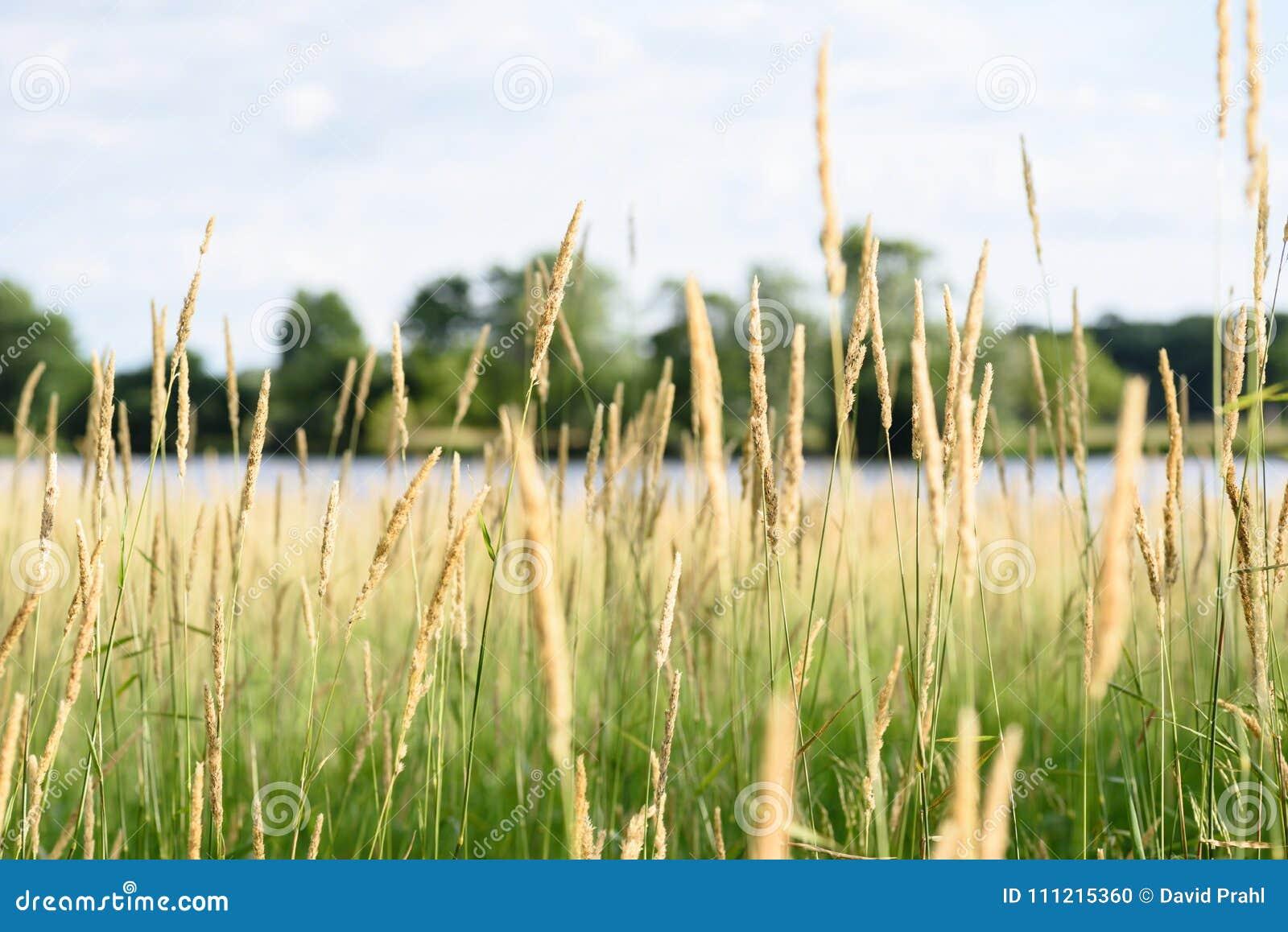 Macro plan rapproché d herbe grande en préservations de la nature de l Illinois
