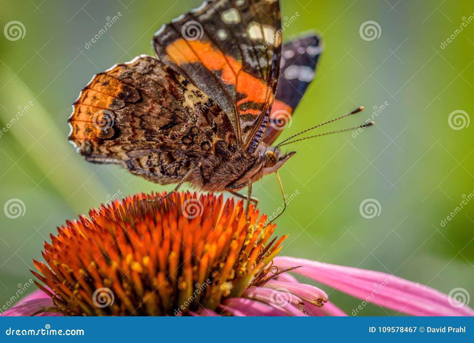 Macro plan rapproché d un papillon sur un coneflower pourpre en été