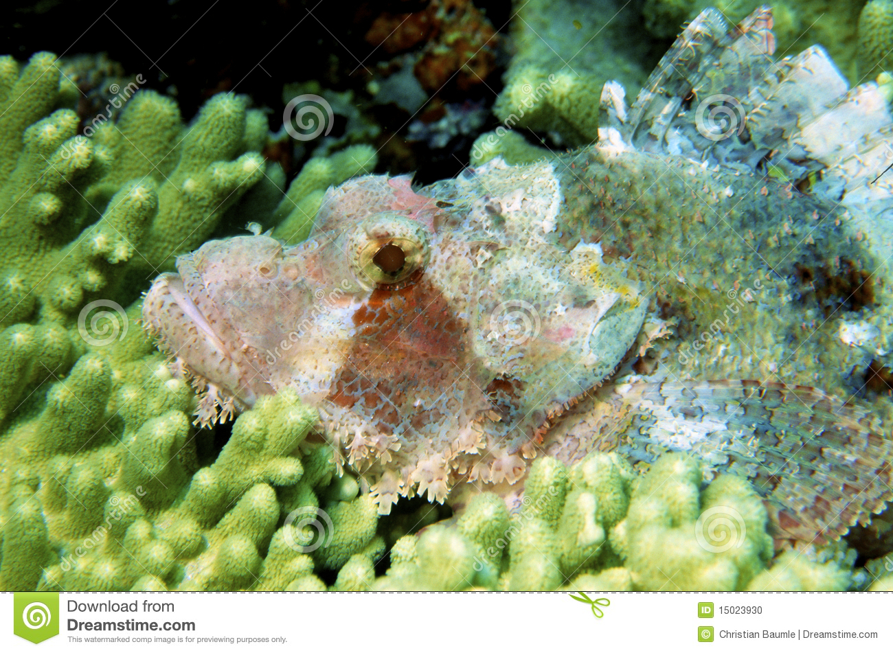 Download Macro Of Poisonous Dragon Head Fish Stock Photo - Image of animal, indian: 15023930