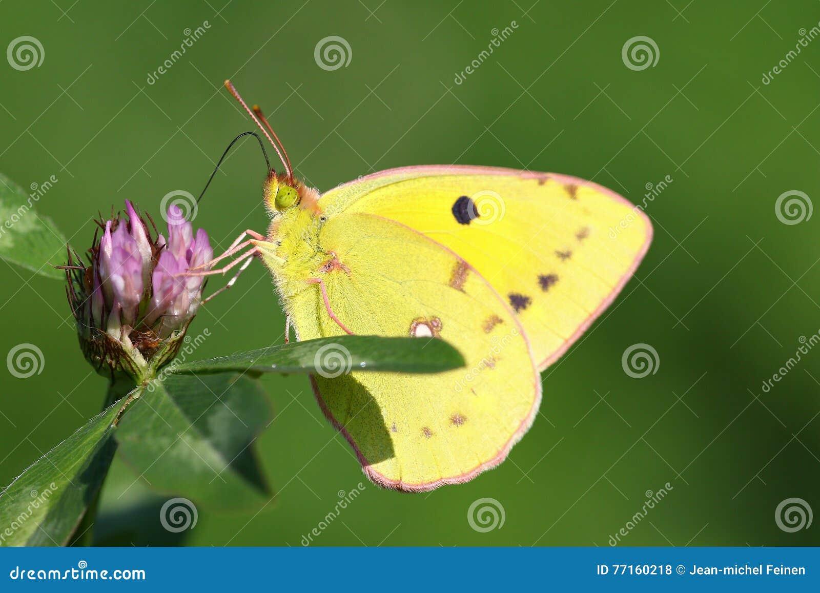 Macro portrait coloré de papillon