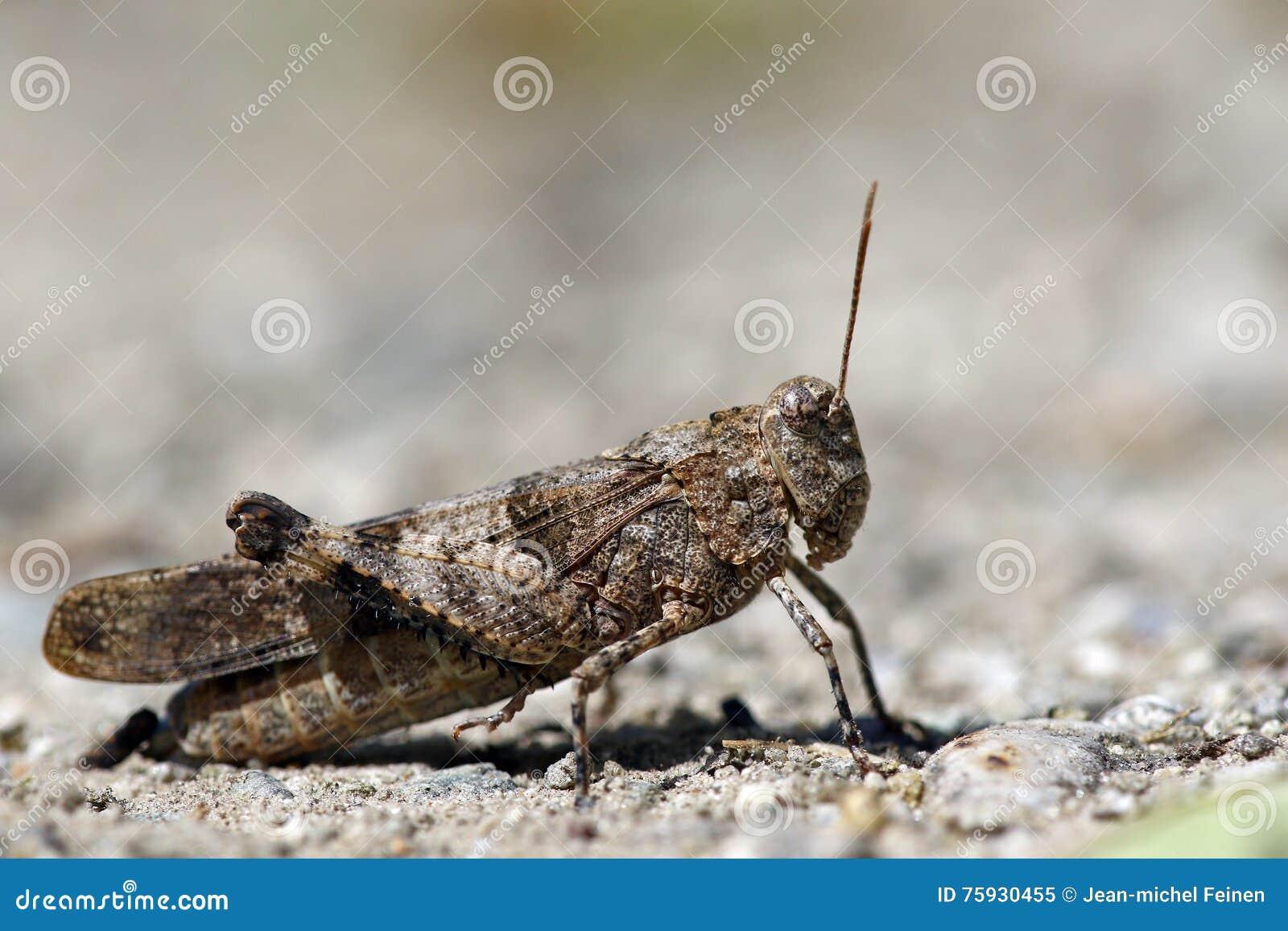 Macro portrait locust